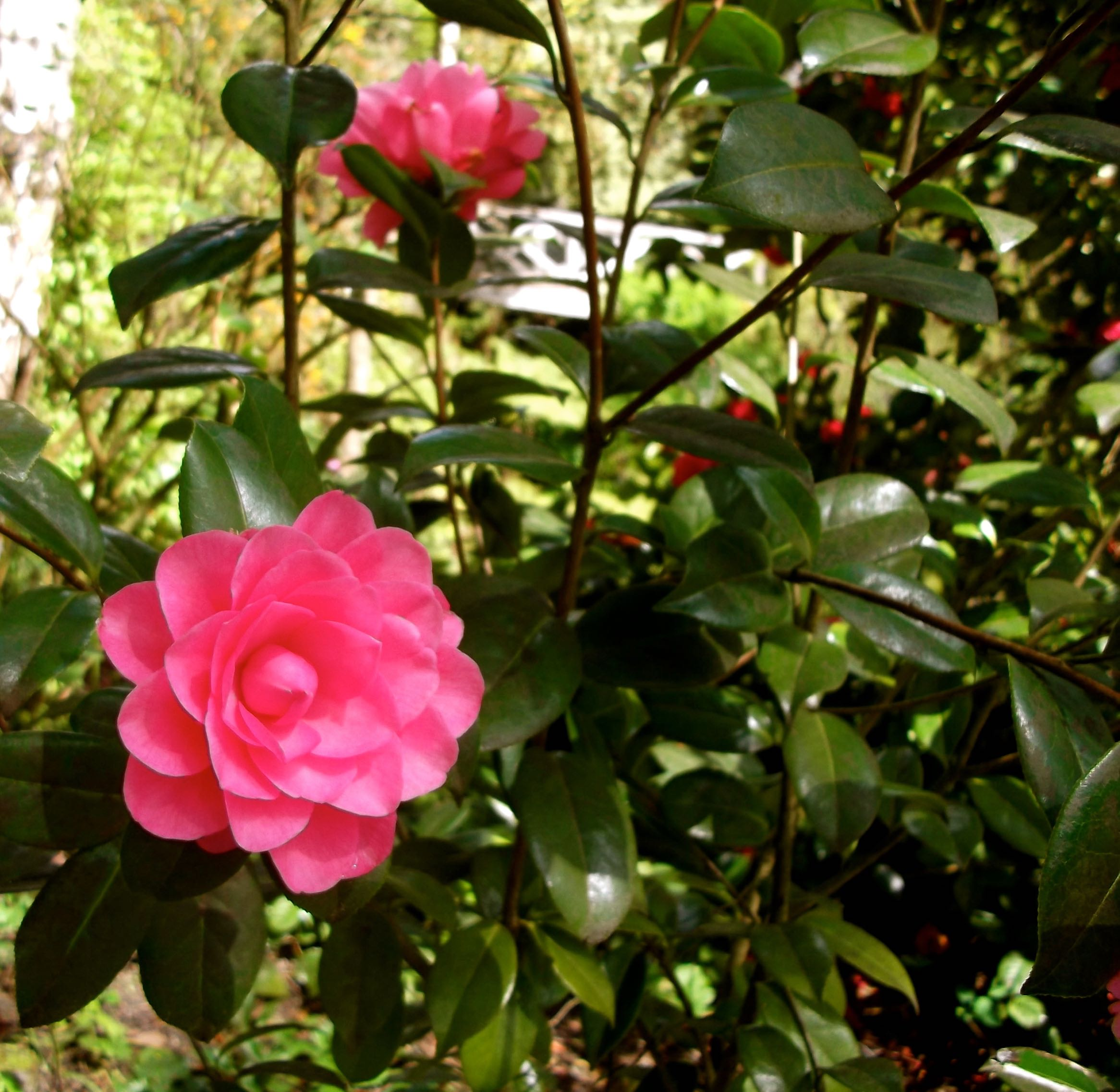standen_pink_camellia.jpg