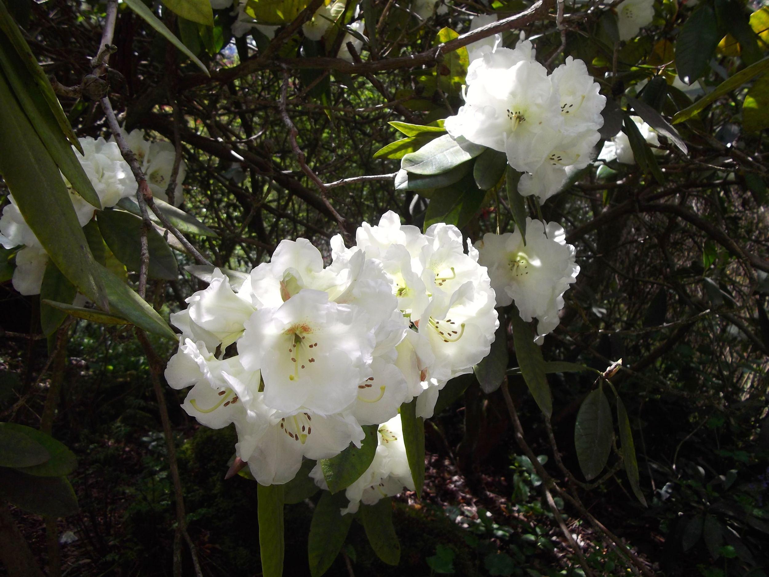 Standen_rhododendron.jpg
