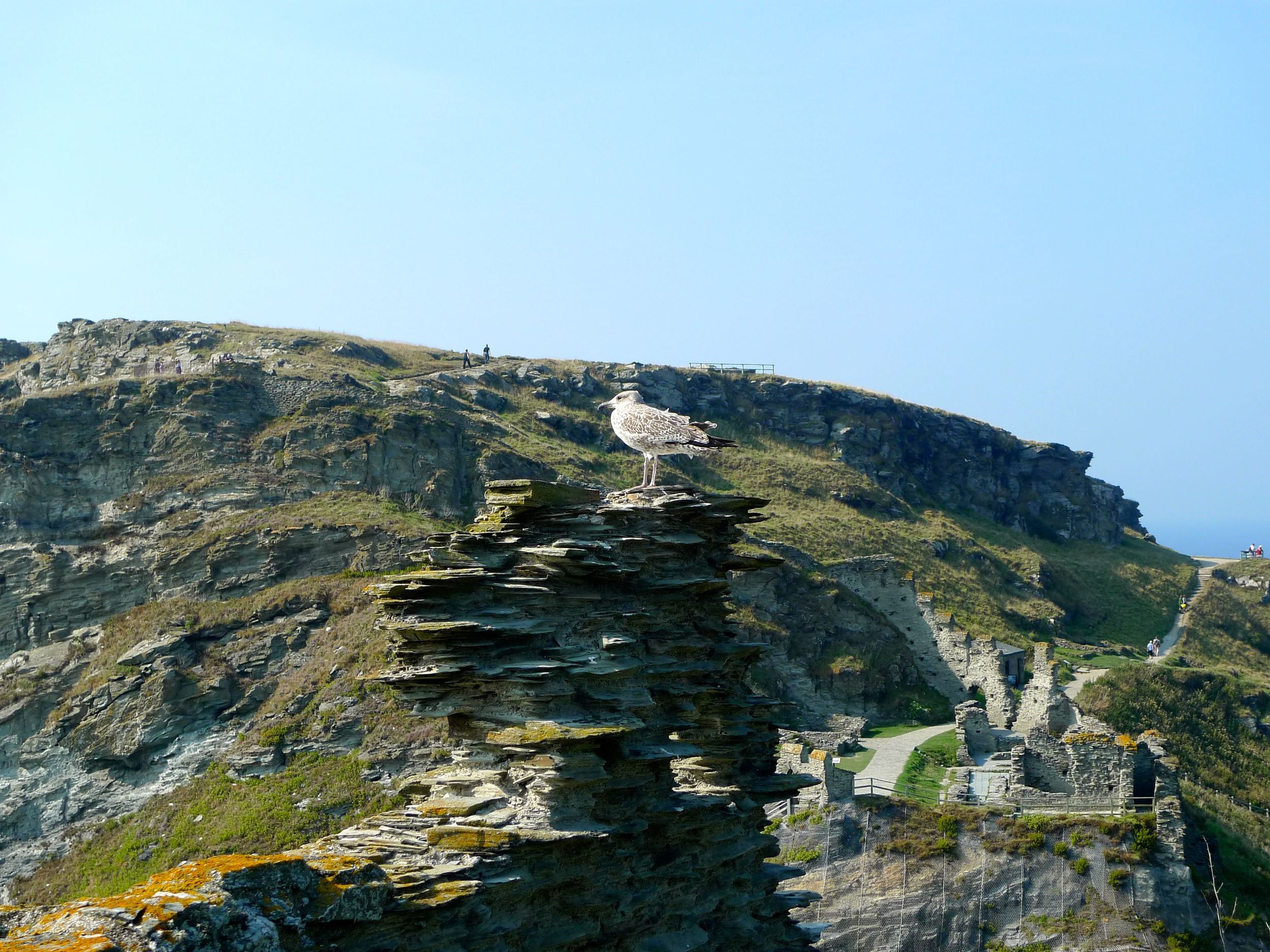 My friend the seagull at Tintagel Castle