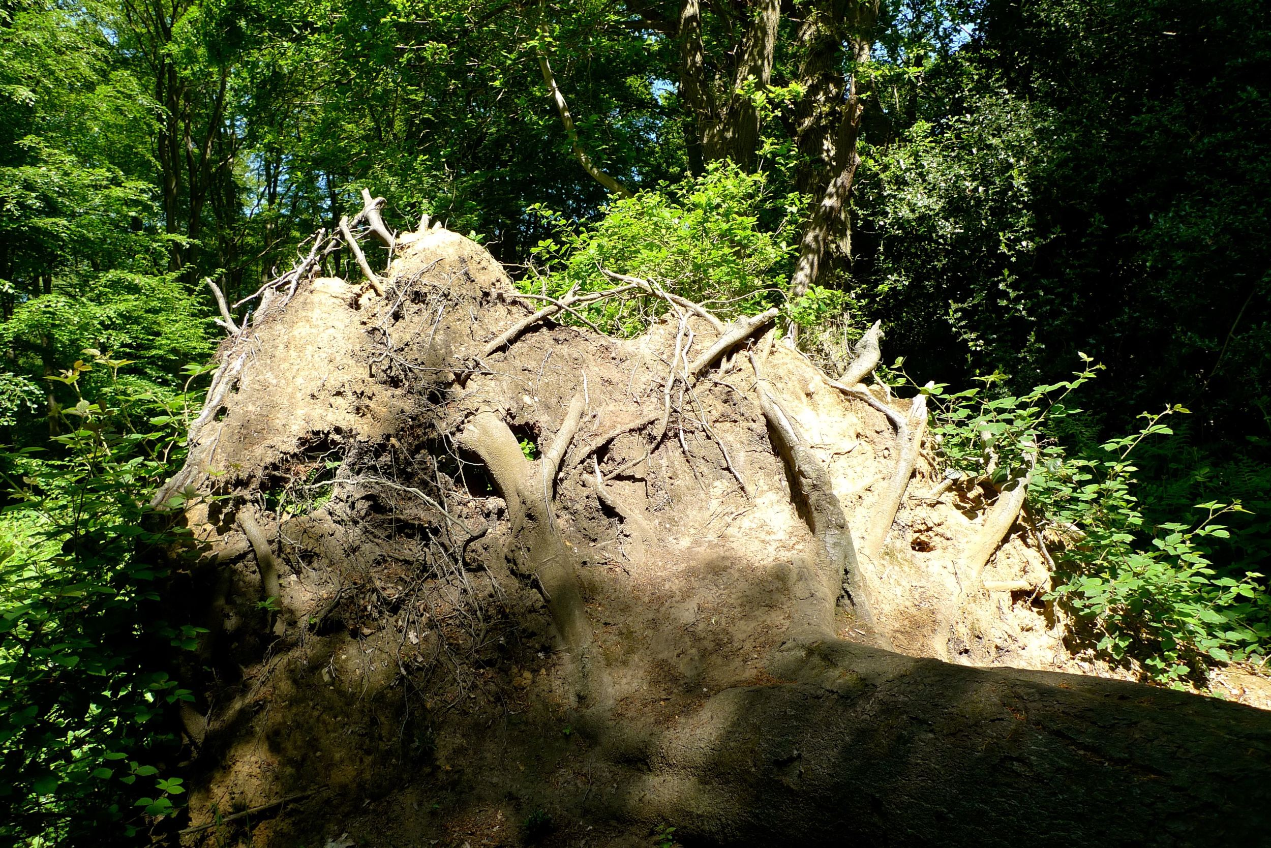 Discovering Epping Forest upturned tree.jpg