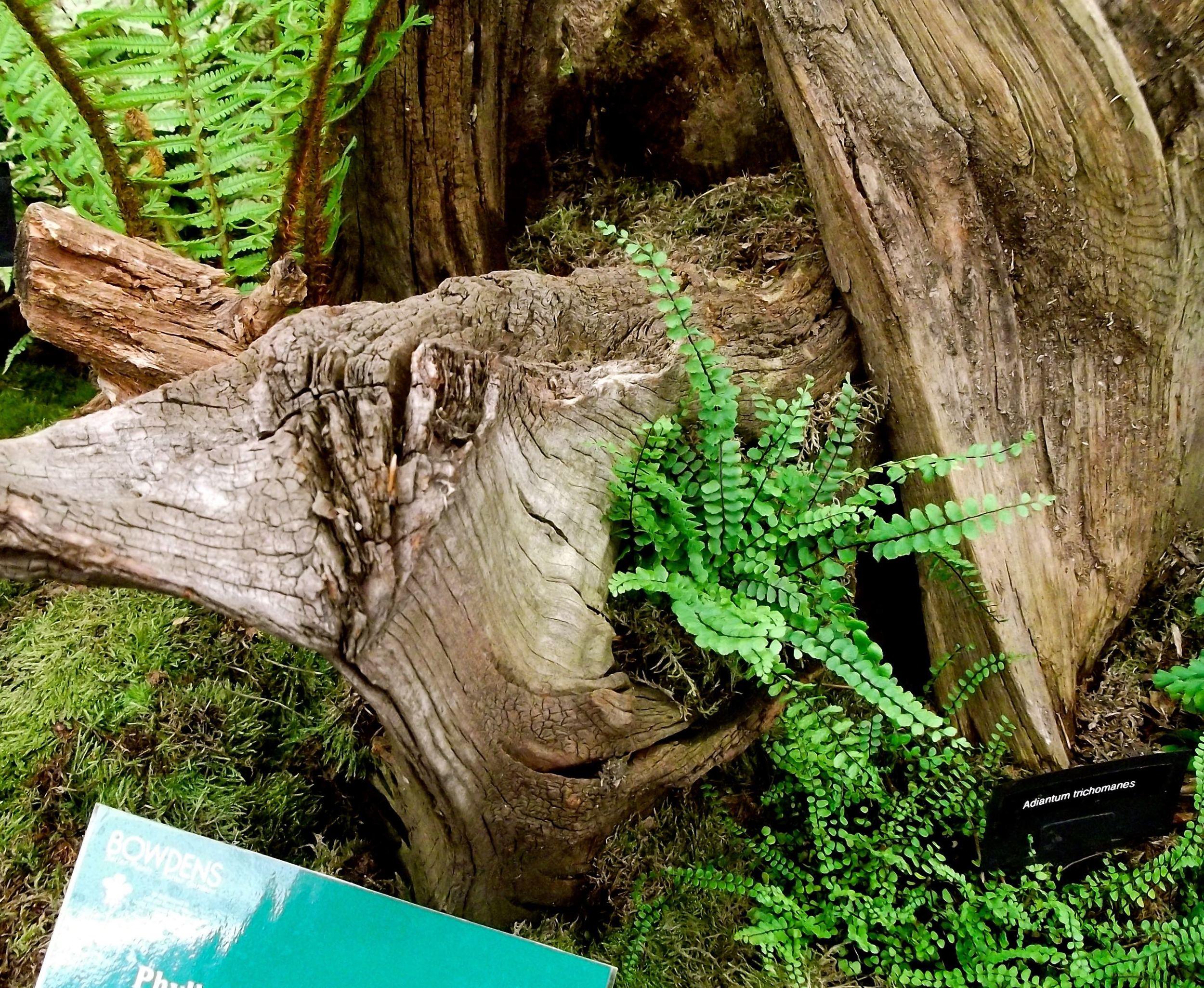 tree ferns at the chelsea flower show.jpg