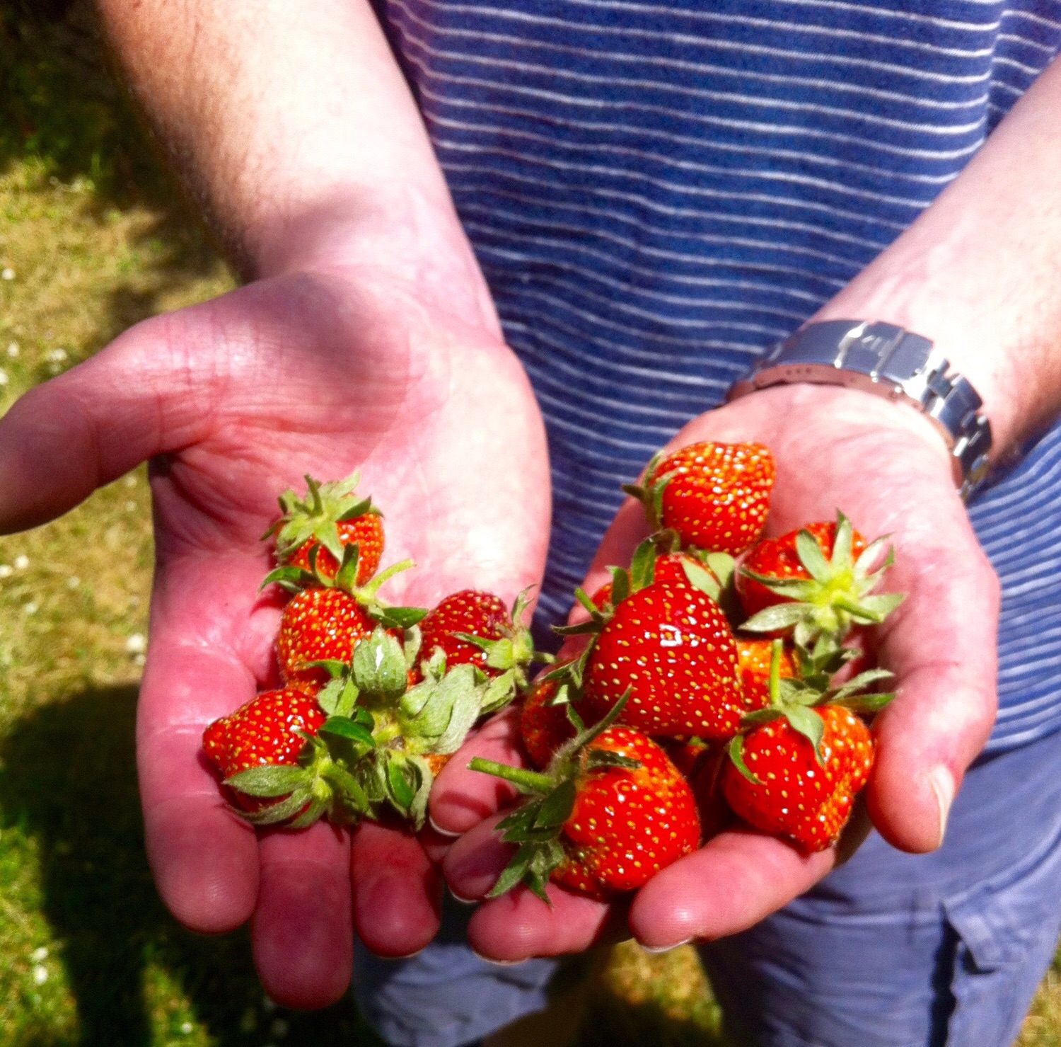 STRAWBERRIES FROM THE GARDEN