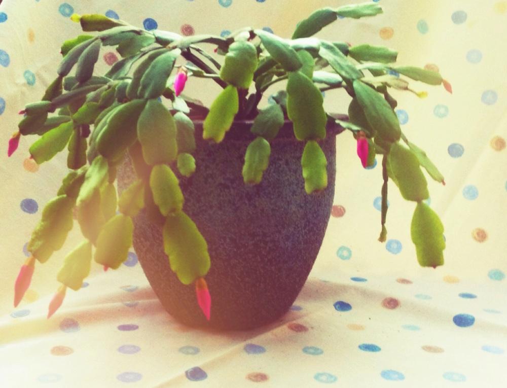 January: My Christmas Cactus