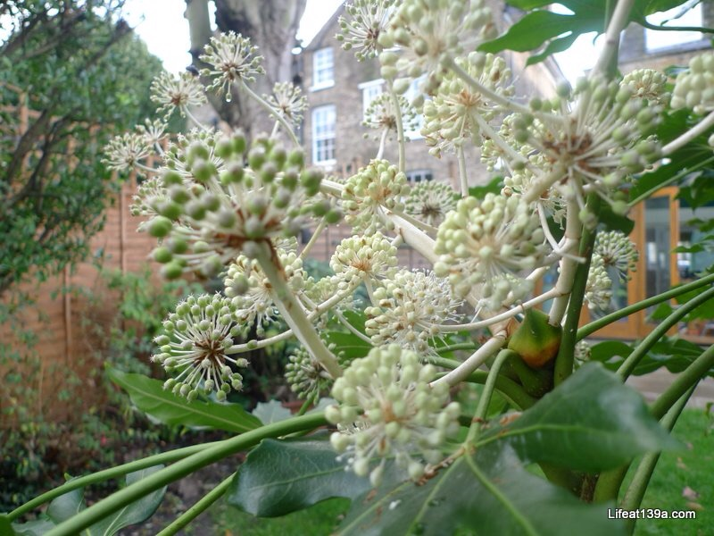 January: From in my Fatsia