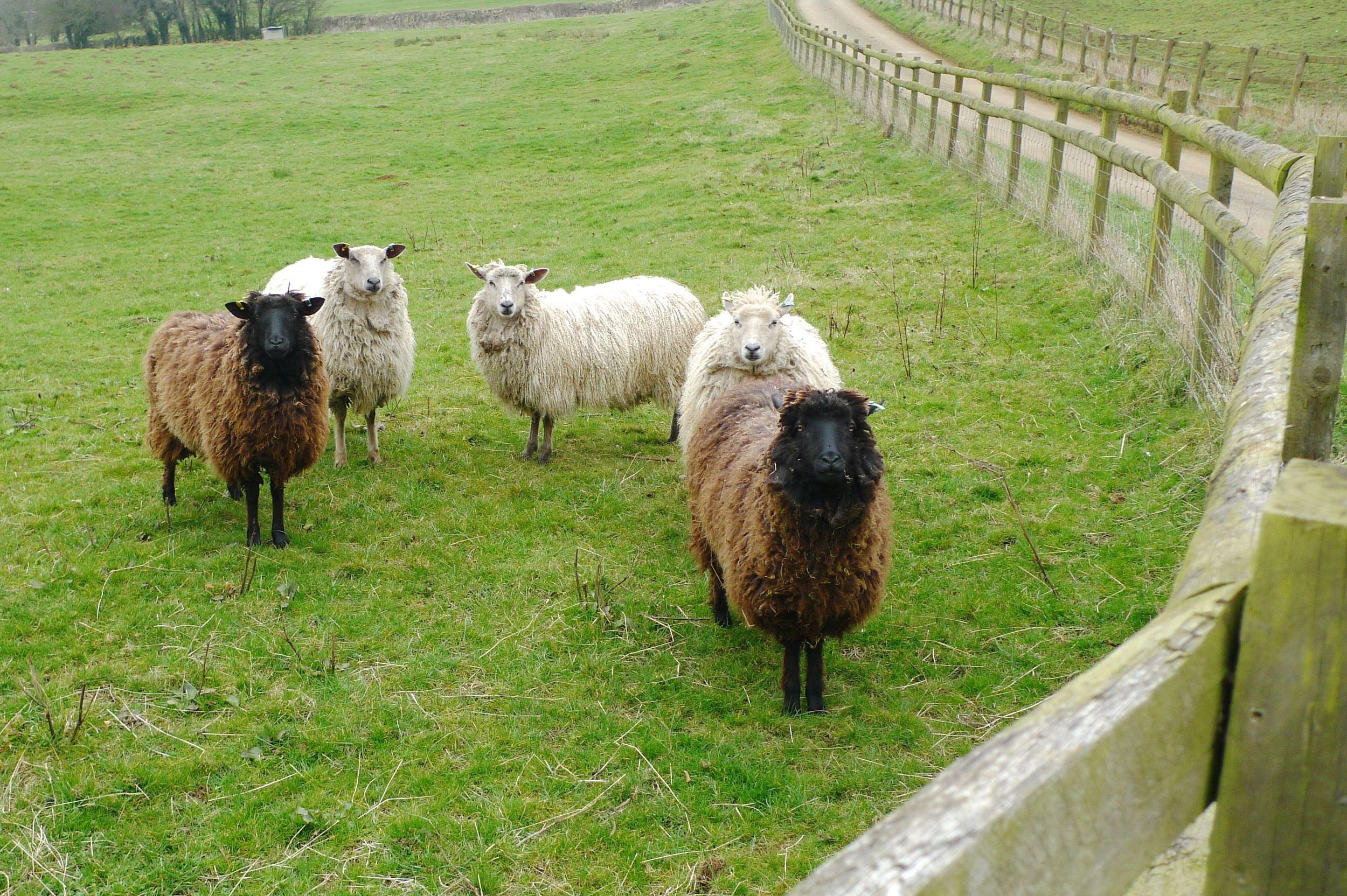 our sheep escort