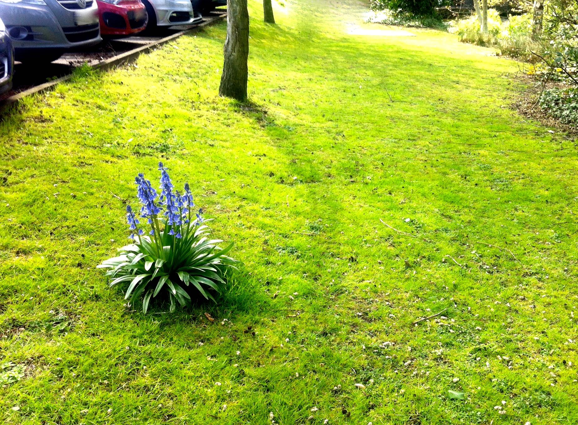 bluebells in the car park
