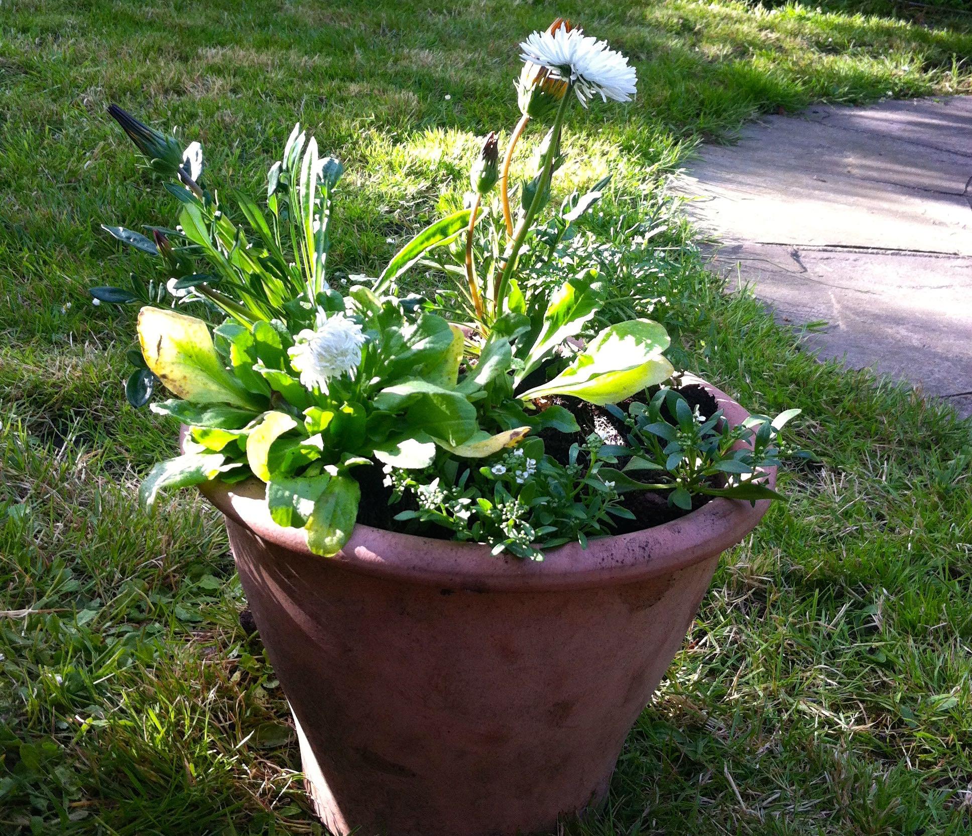 Bellis white flowers standing tall