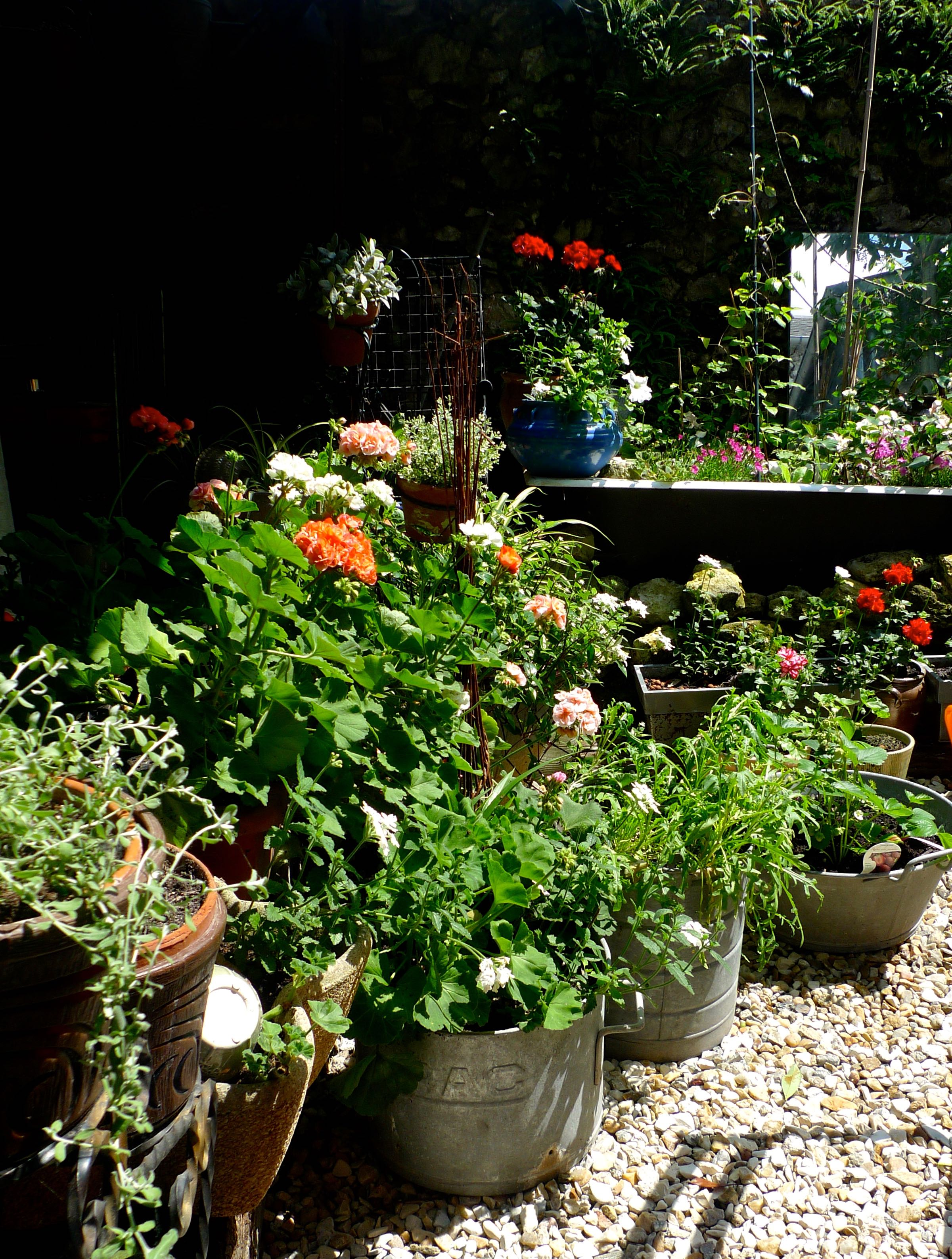 Pots and geraniums