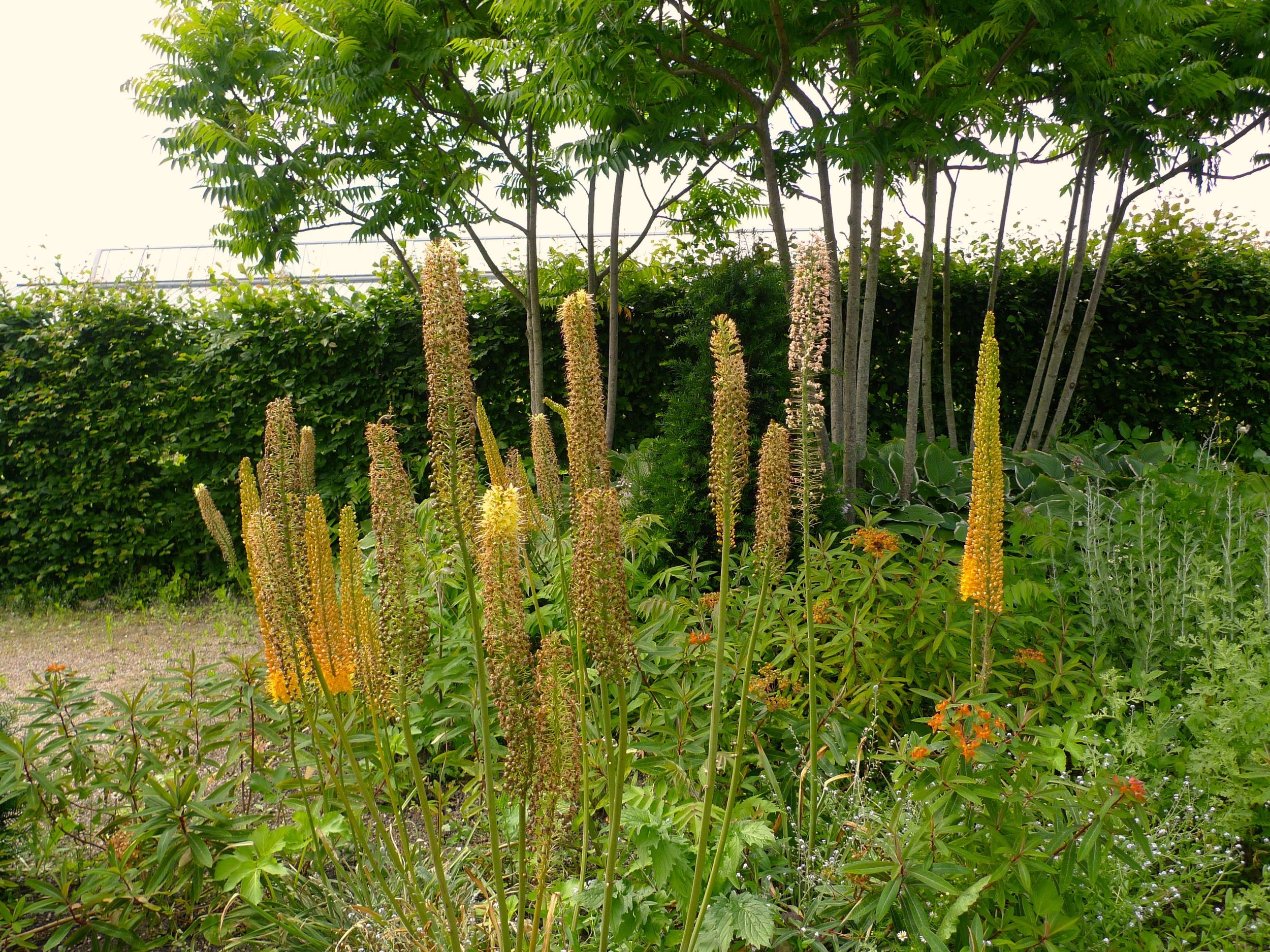 Spikes of orange flowers in the modern cottage garden at RHS Hyde Hall