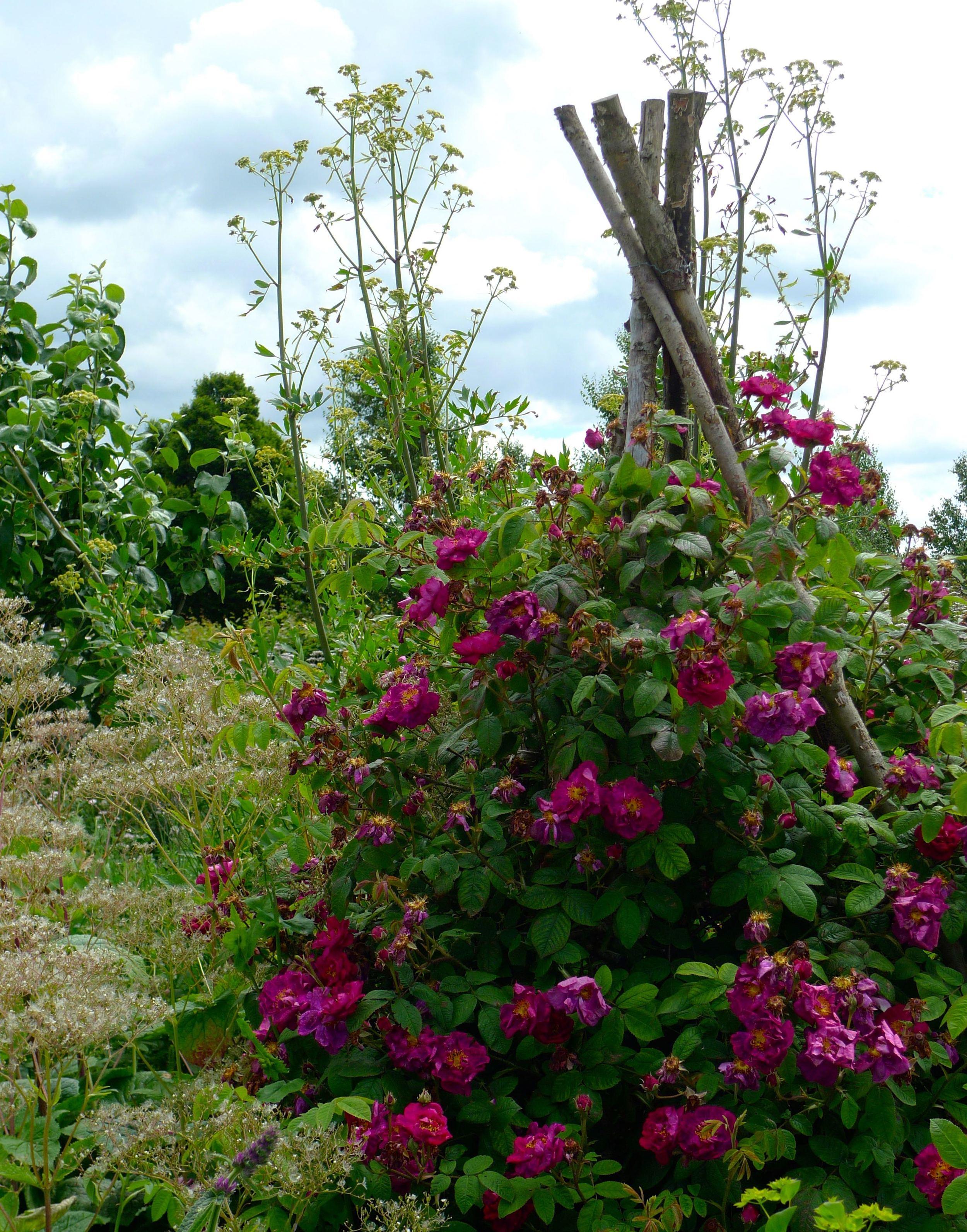A wigwam of roses