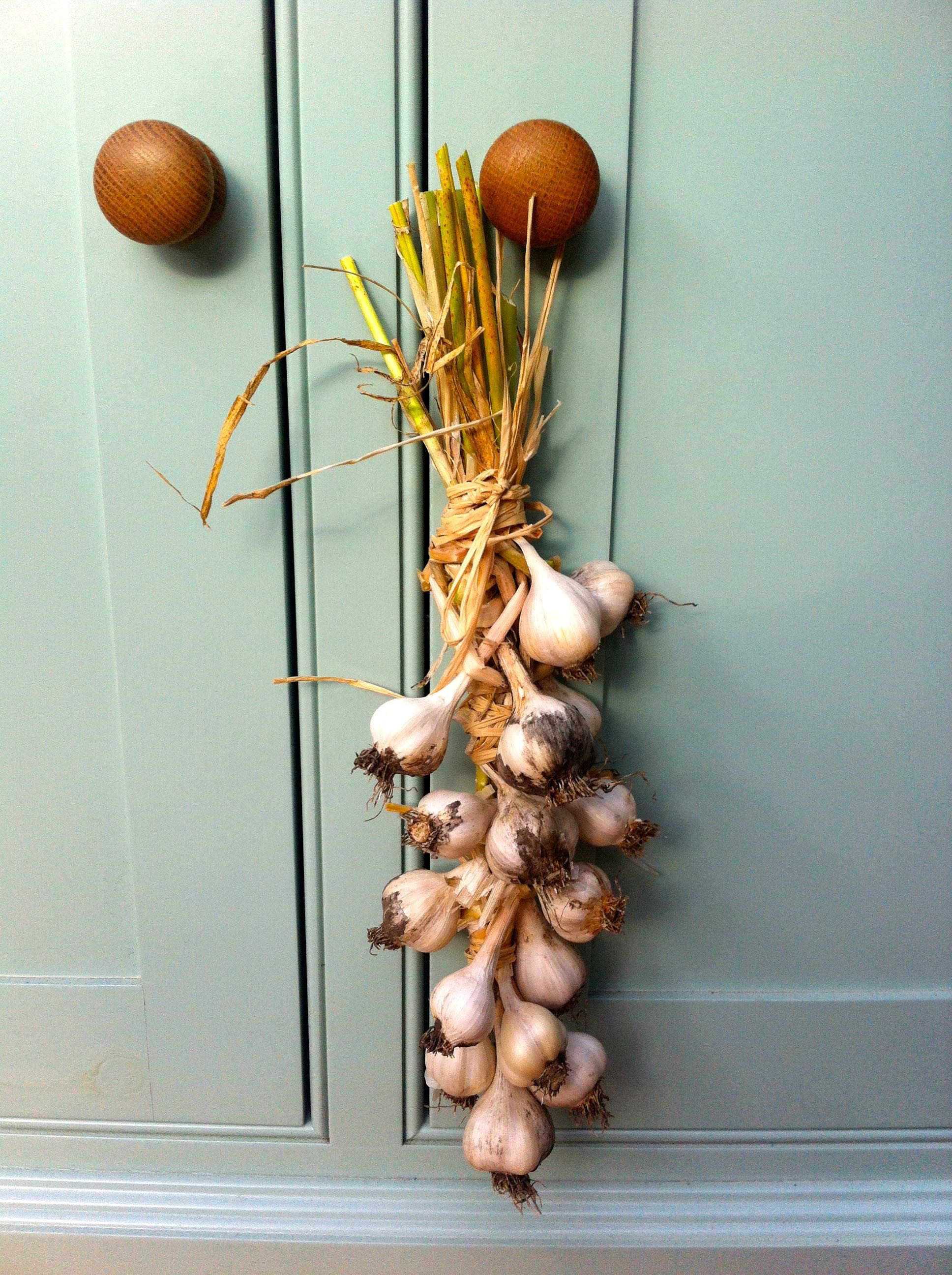 A string of garlic hanging in my conservatory