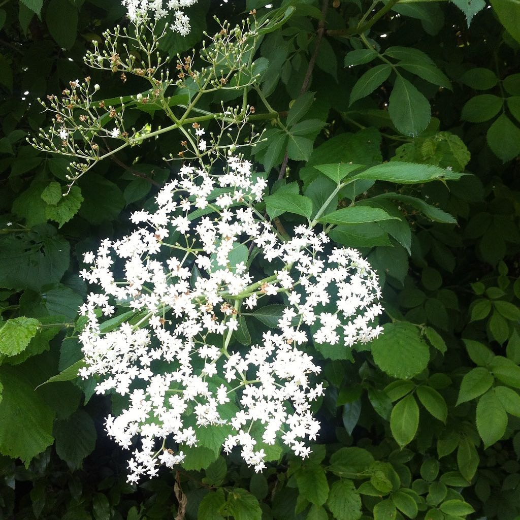 The hedgerows were full of elderflower - a shame we couldn't pick any to make elderflower cordial!