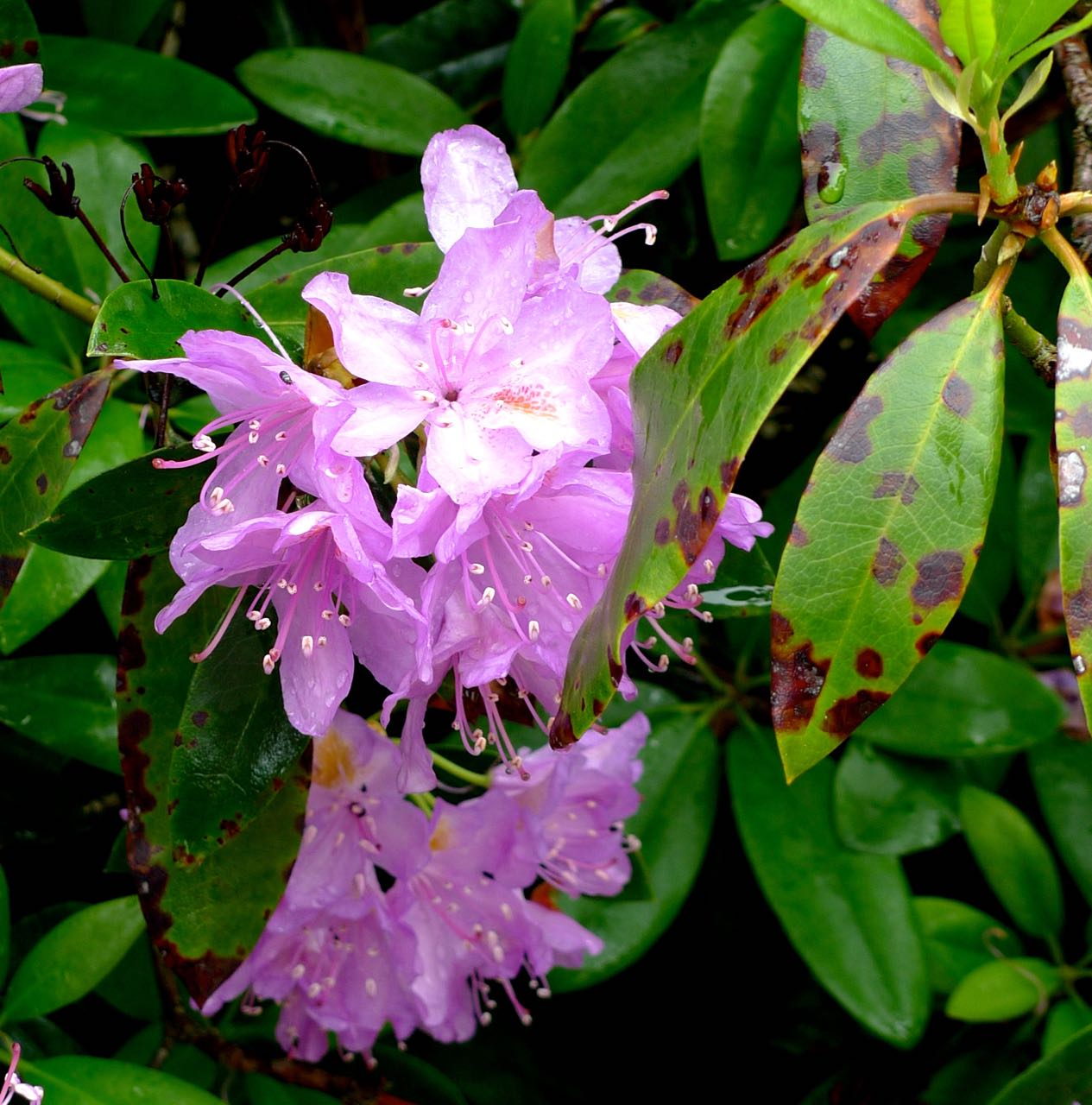 A rhododendron close up
