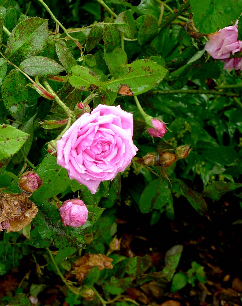 Roses in every stage of their flowering life