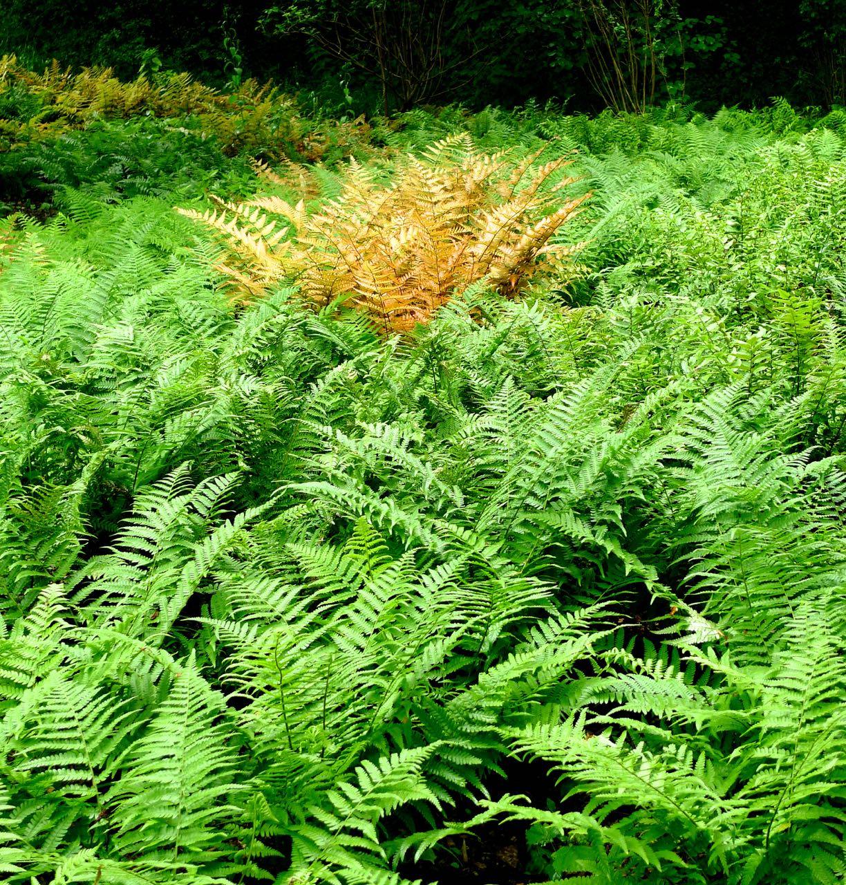 """A single rusty fern among a """"field"""" of green"""