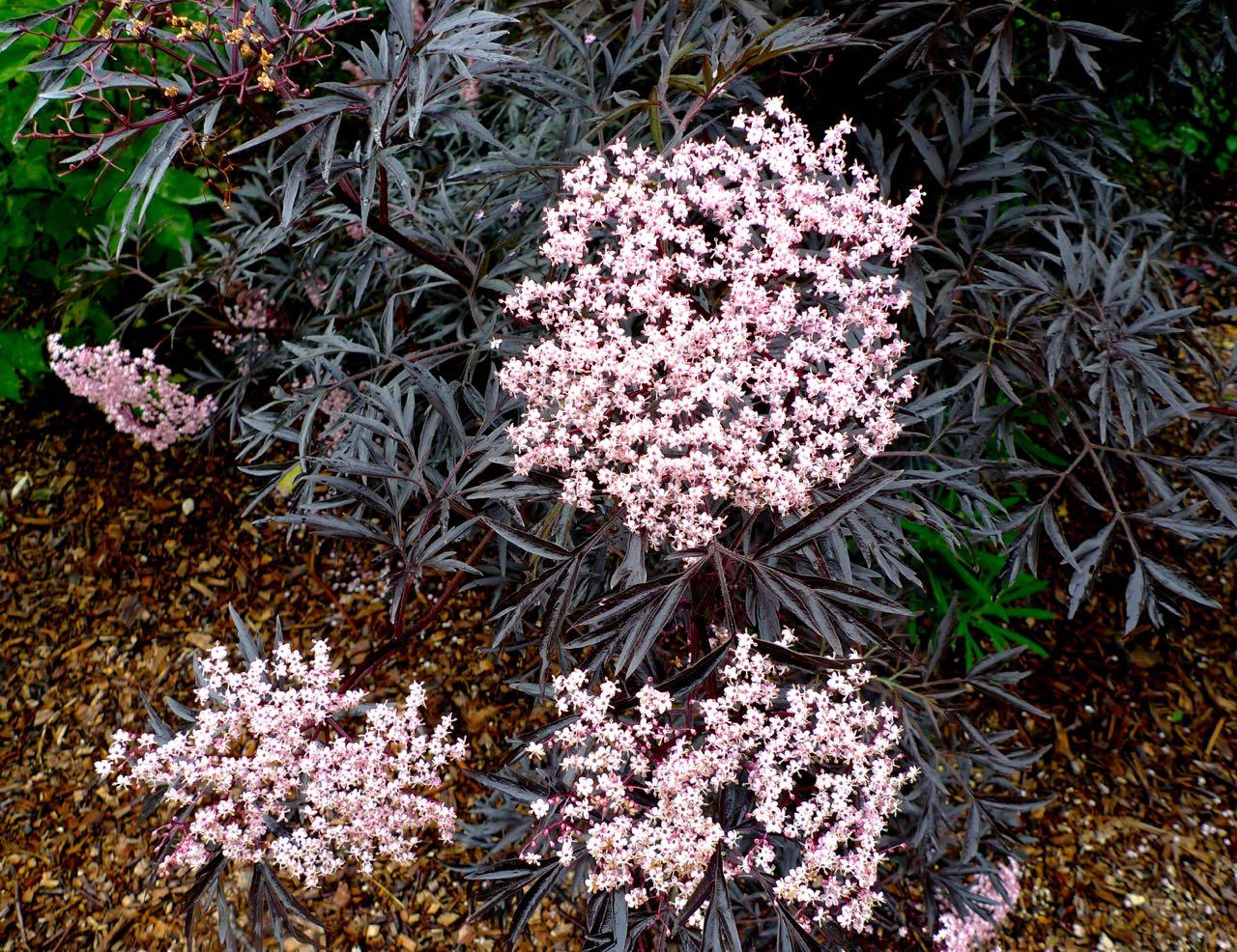 Sambucus Nigra is a gorgeous mix of dark foliage and pretty pink flowers