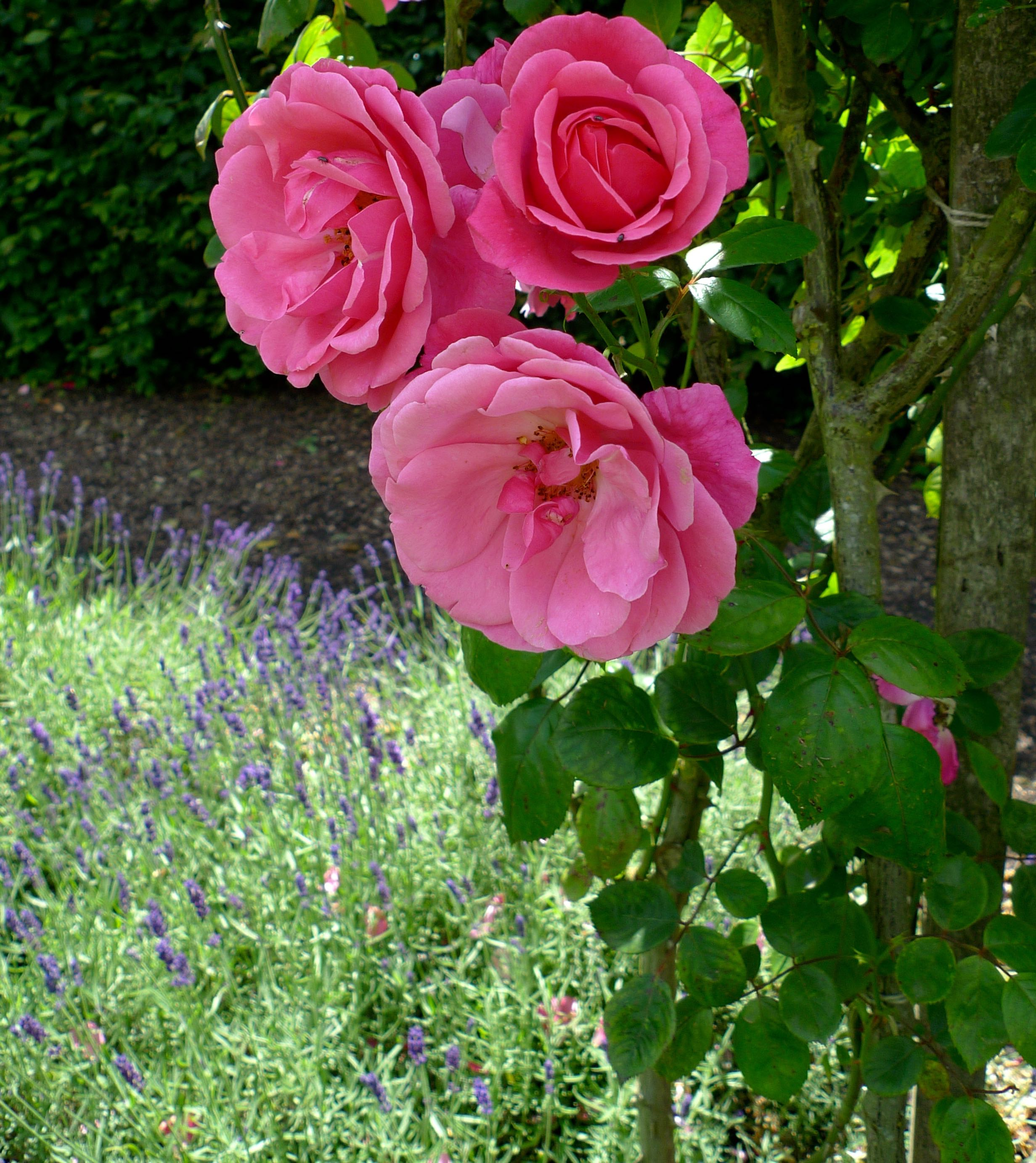 pink roses against a bed of lavender