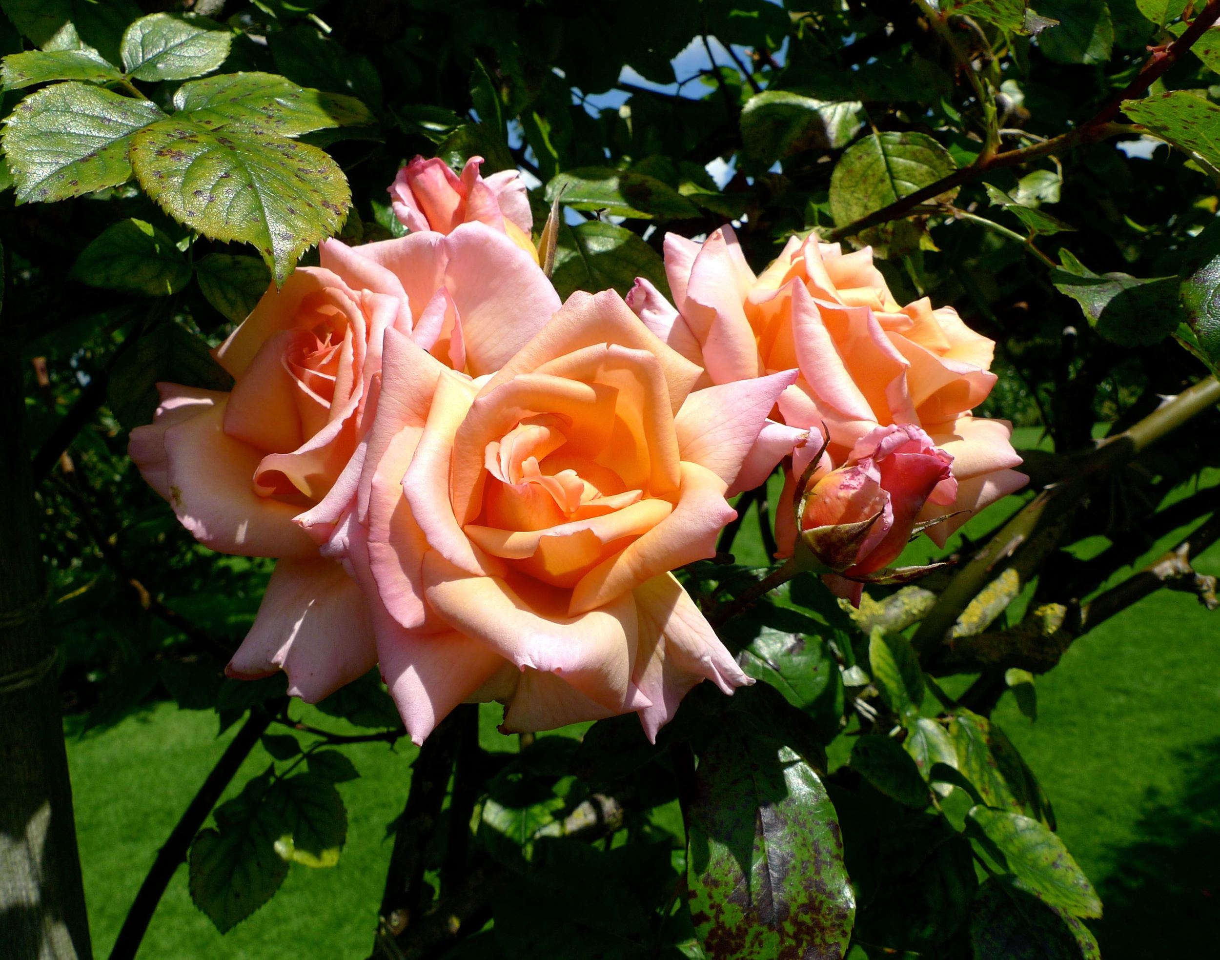 peachy pink tea roses