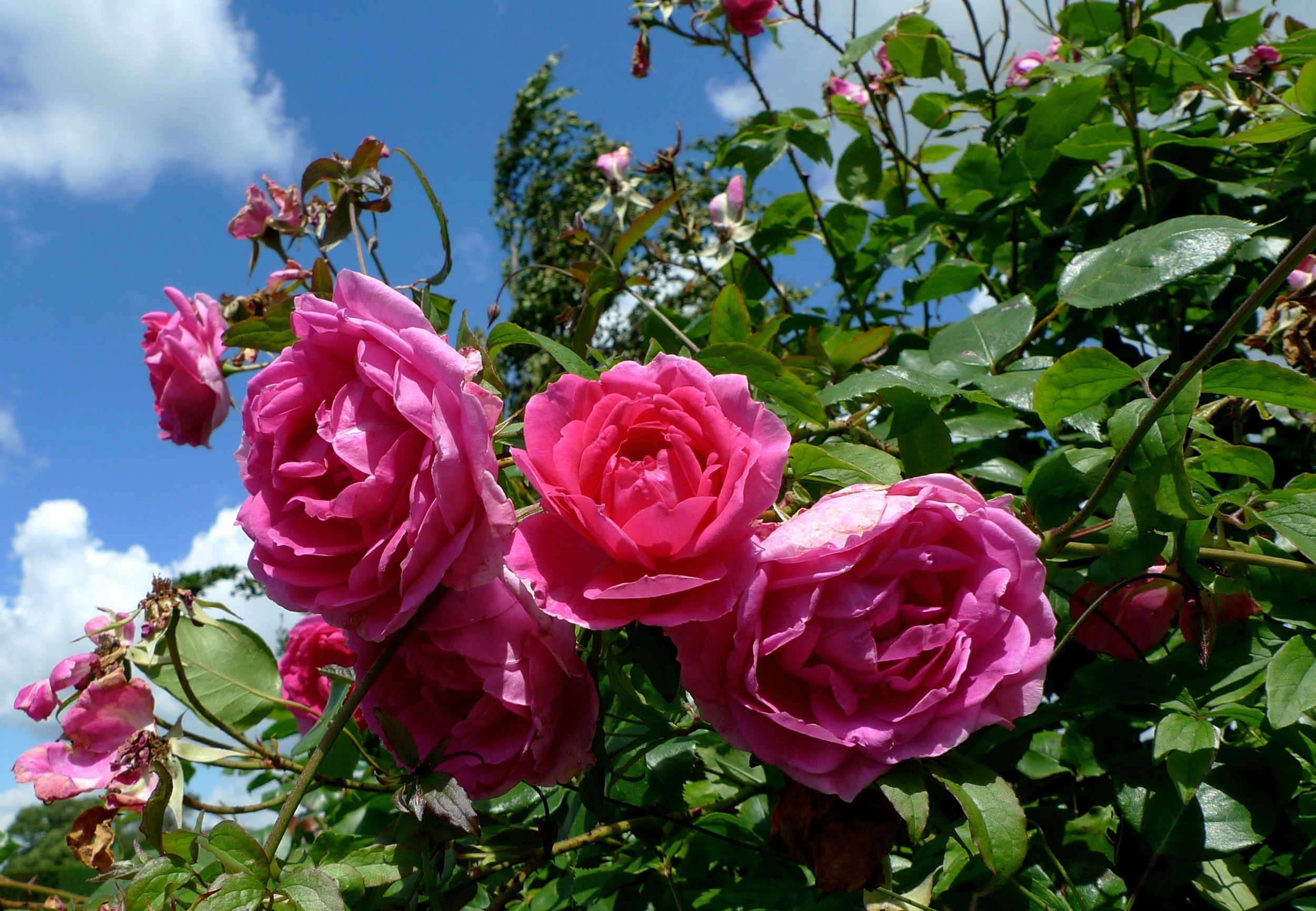 pink roses, blue sky and breathe