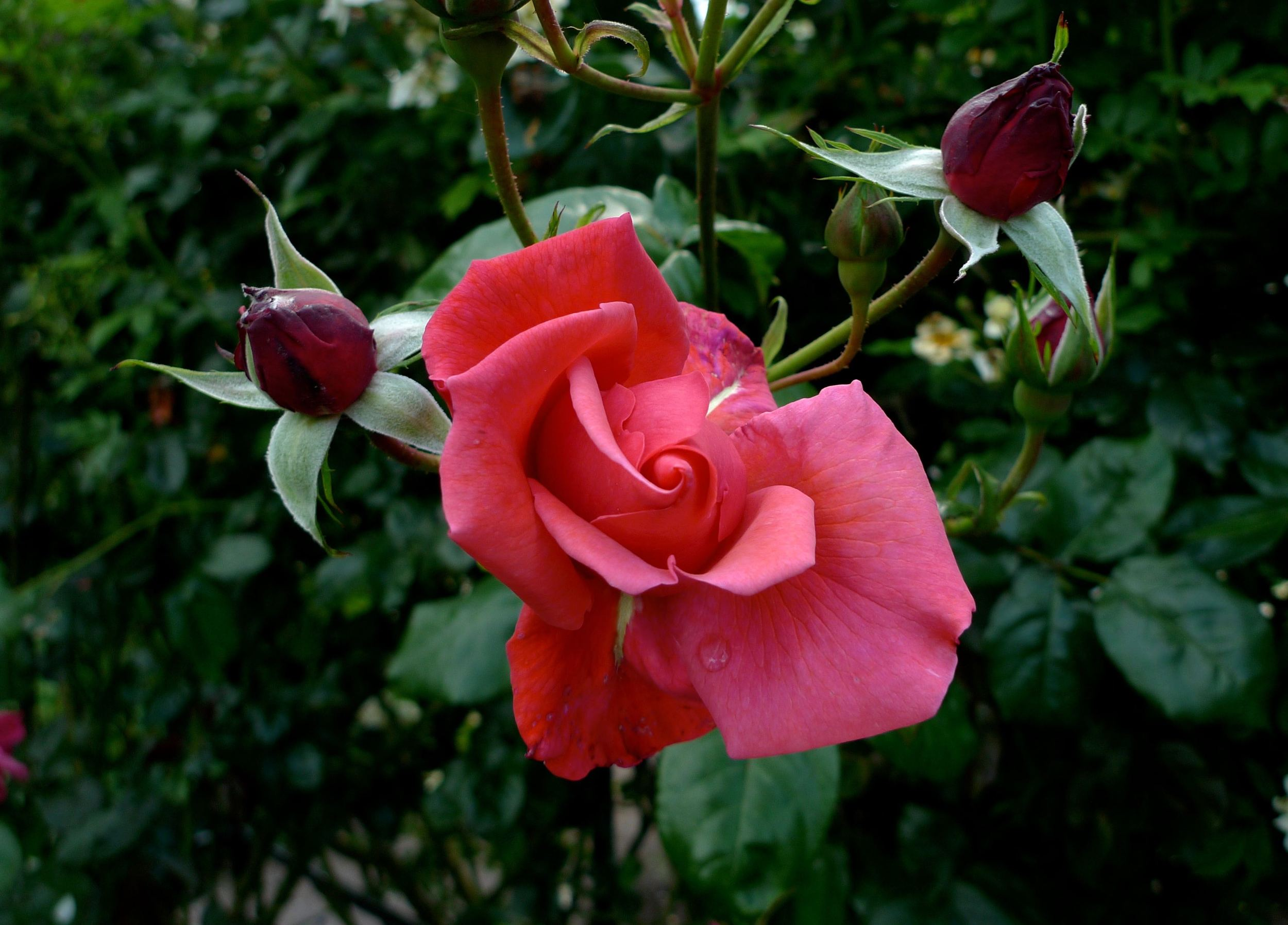 a rose in flower with more buds to follow