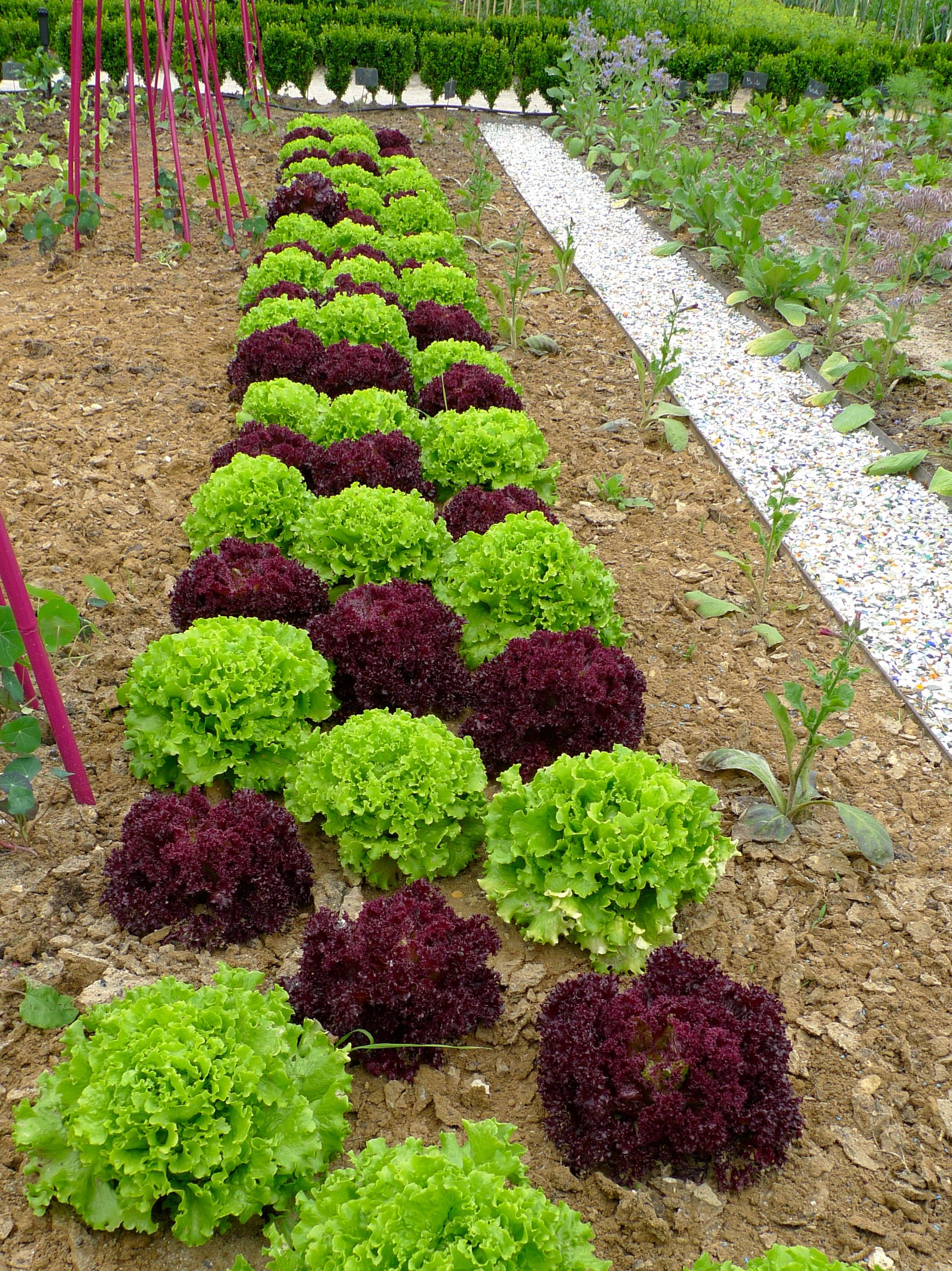 lettuces grown in diagonal rows forming a patchwork pattern