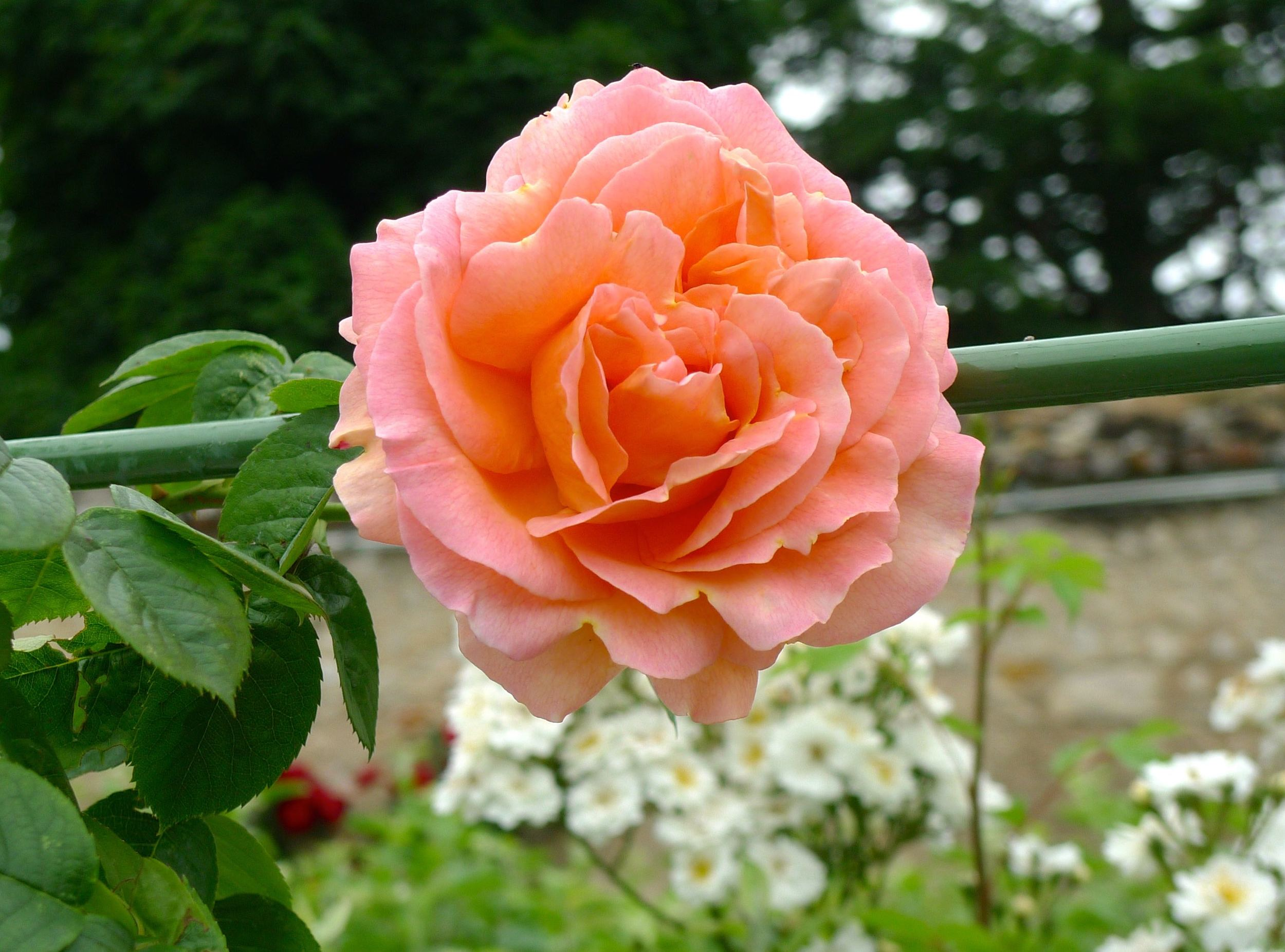 A peach-pink rose clambering along the walkway