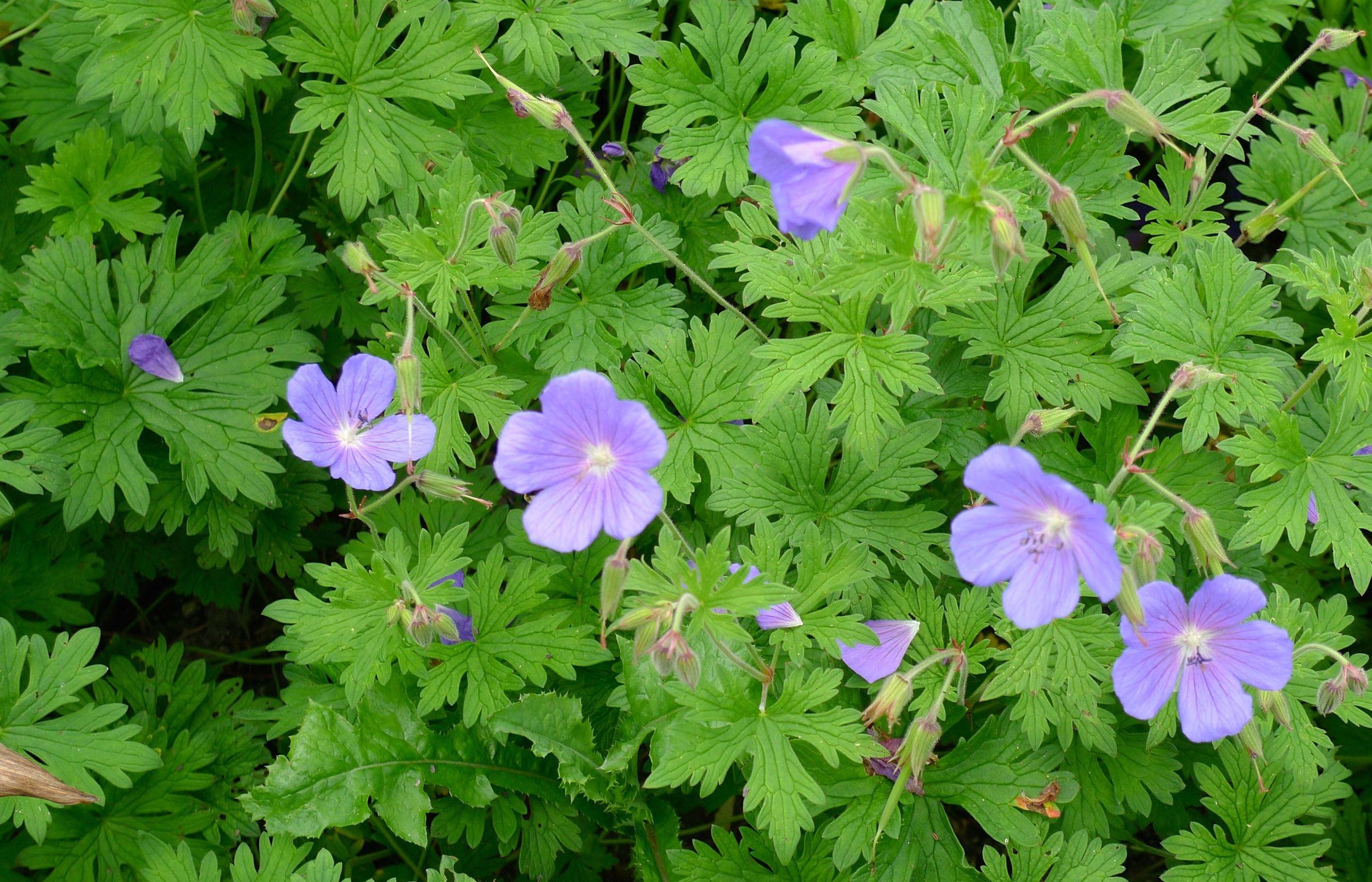Pale blue geranium flowers
