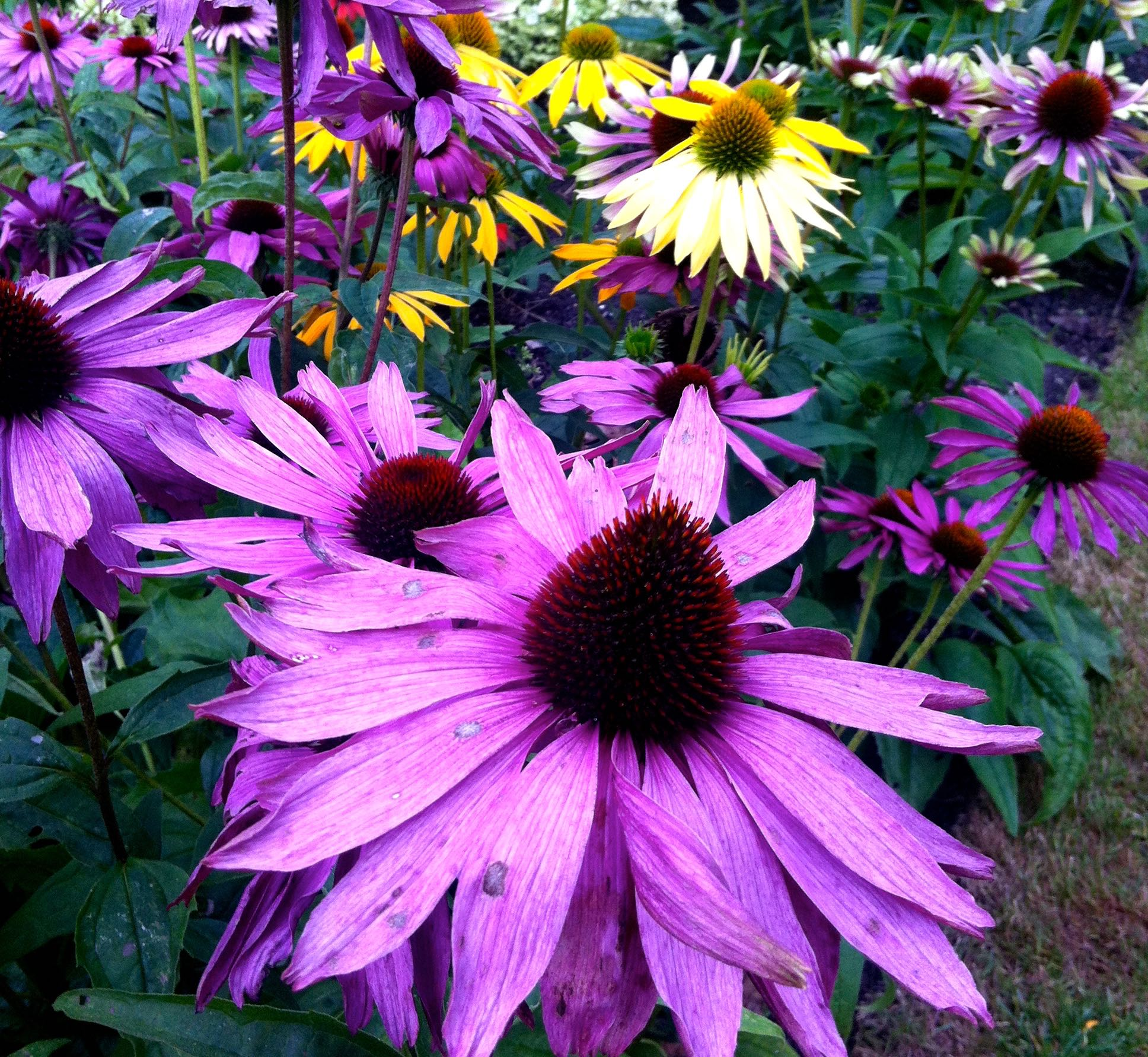 and yet more echinacea