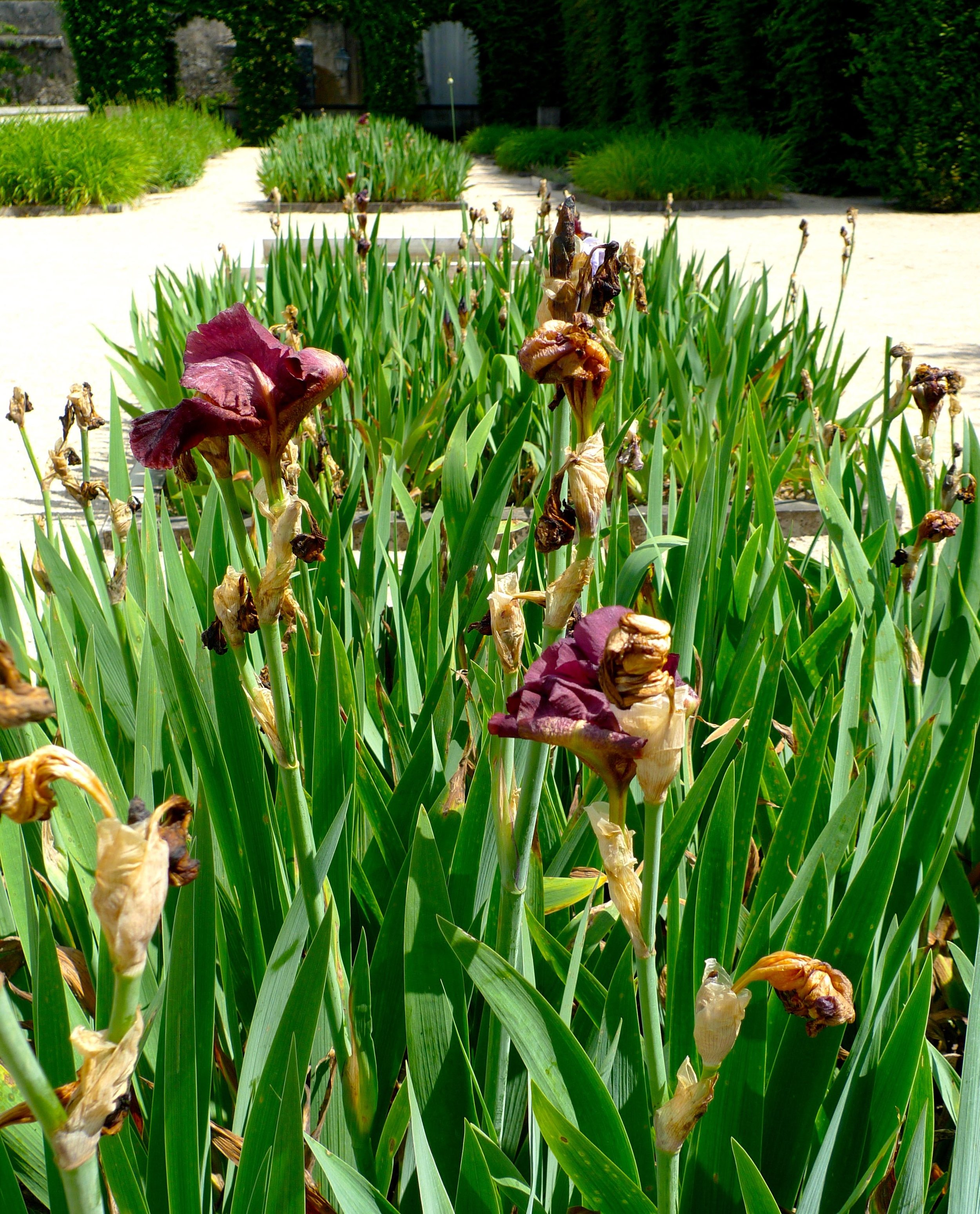 The irises were just past their best