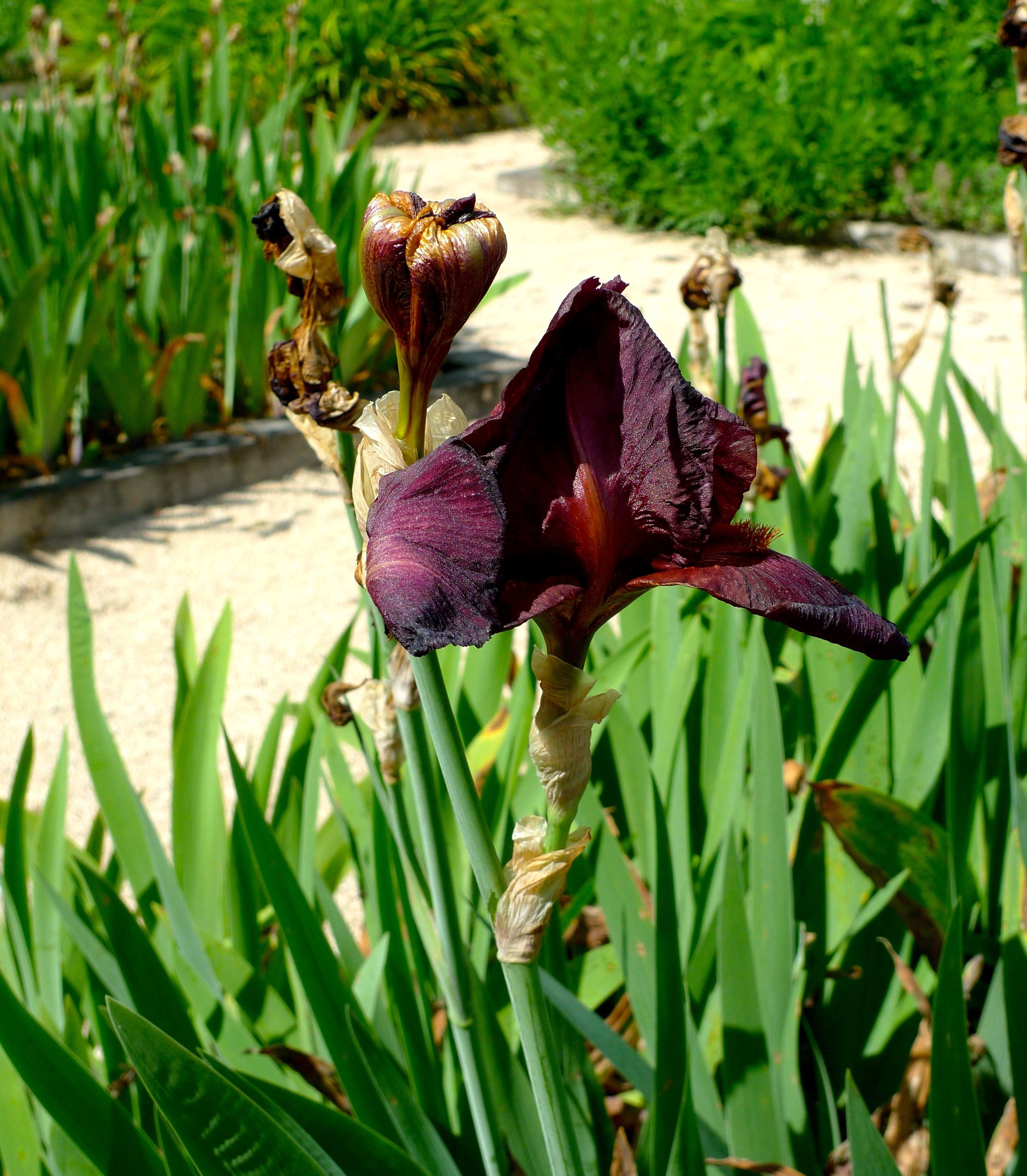 I did find some iris in flower though