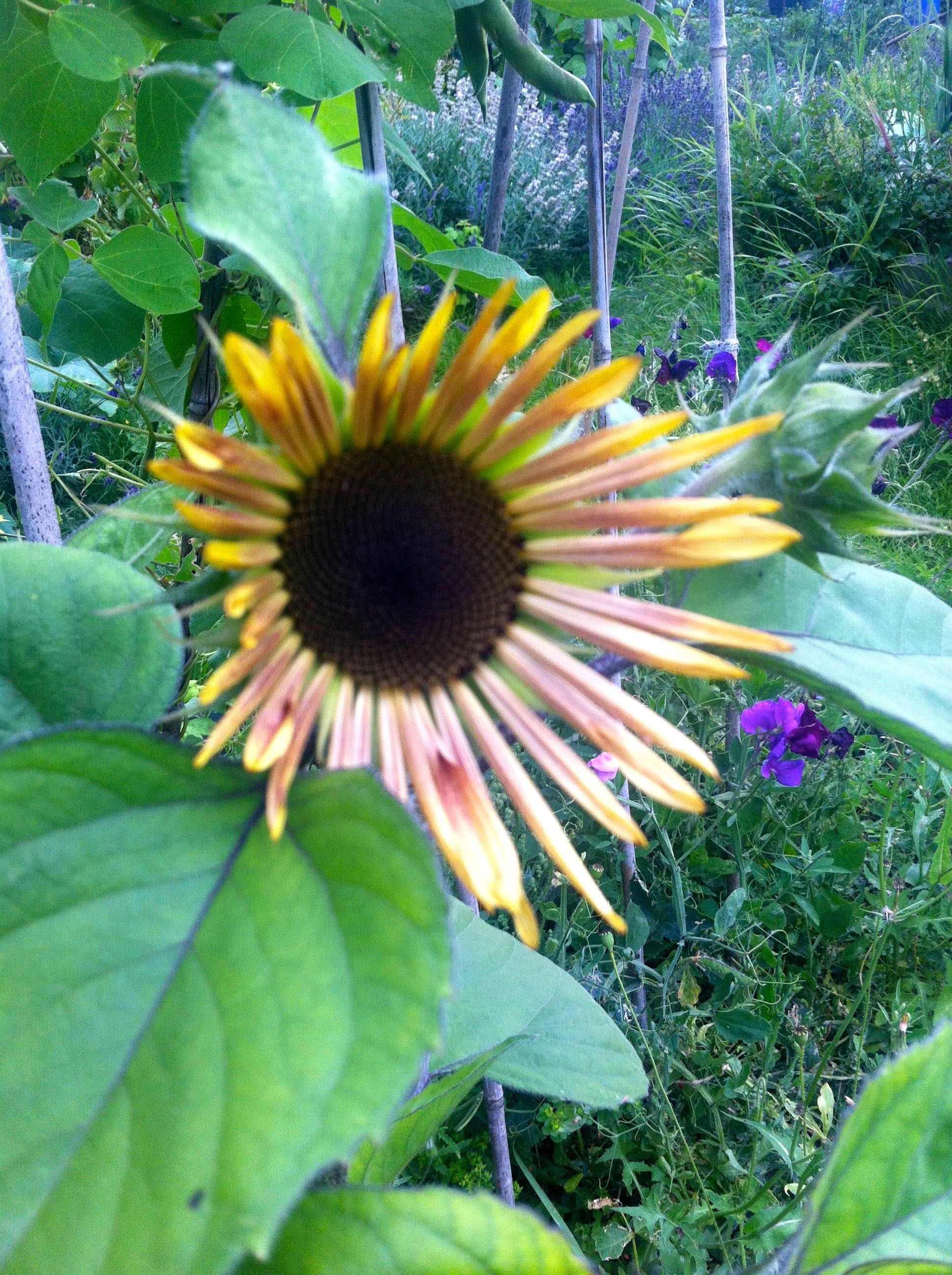 sunflower on the allotment