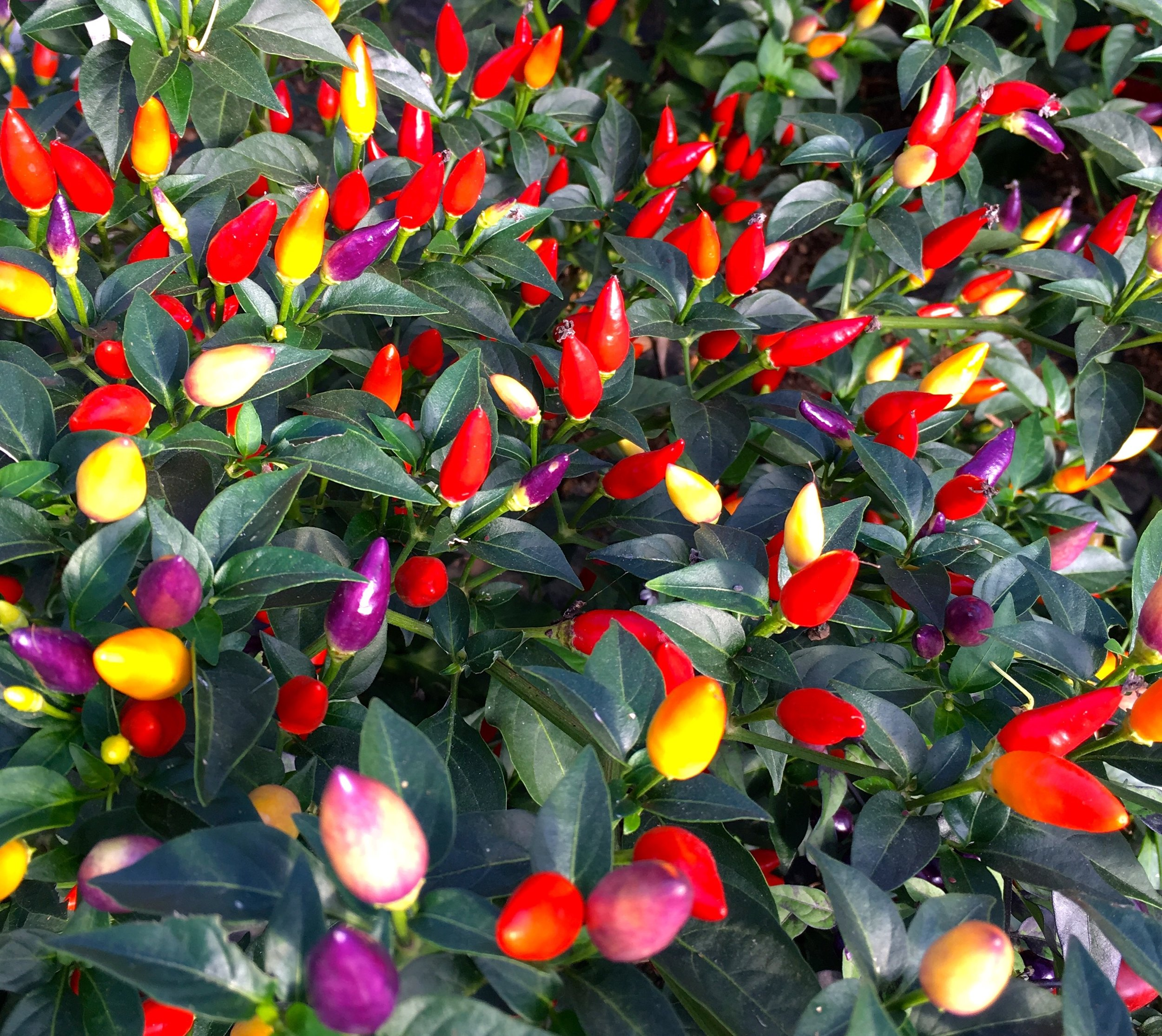 Multicoloured Chillies at the South Devon Chilli Farm