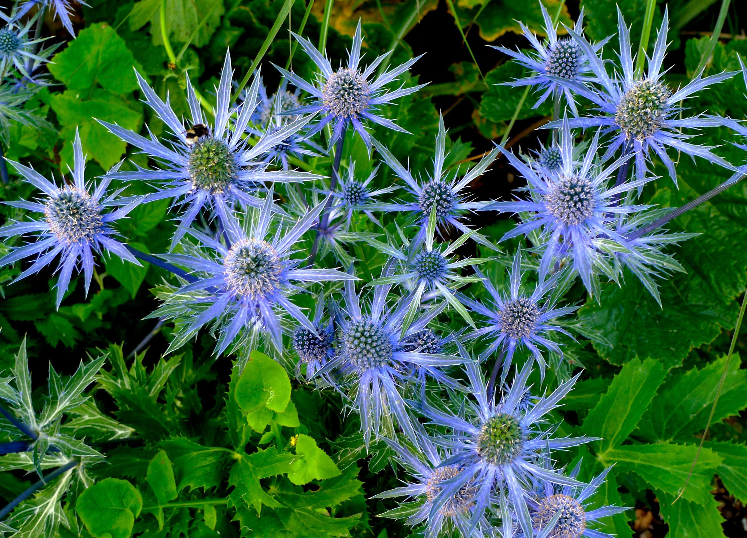 Looking down on Sea Holly
