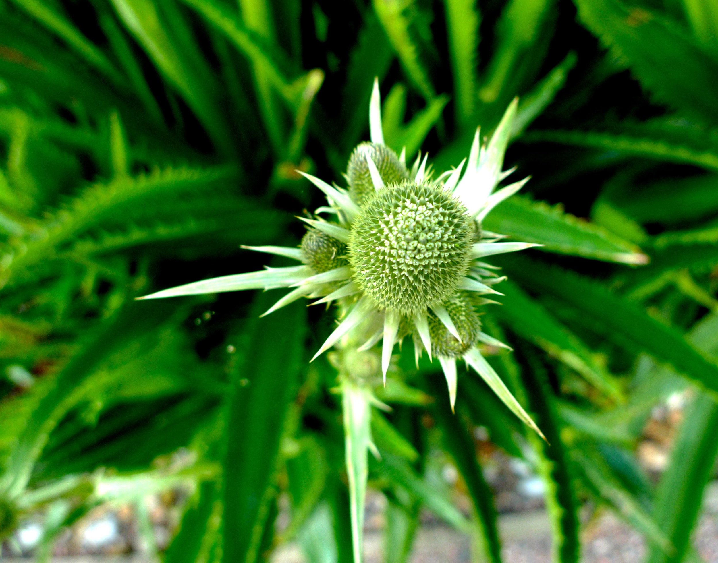 Looking down on a sea holly waiting to come into colour