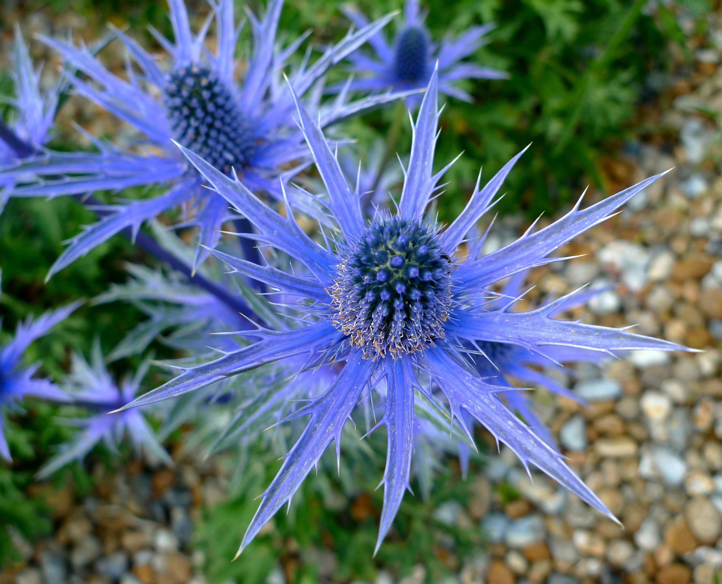 Looking down on the bluest of blue sea holly