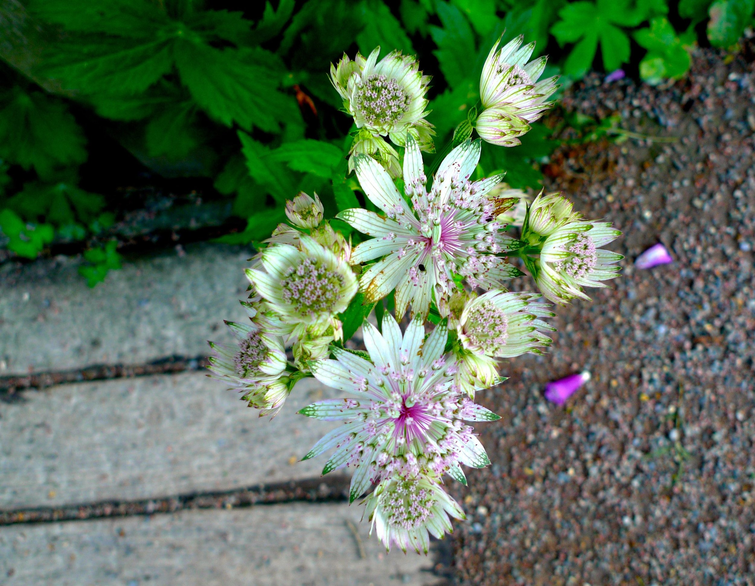 Looking down on the delicately pretty astrantia