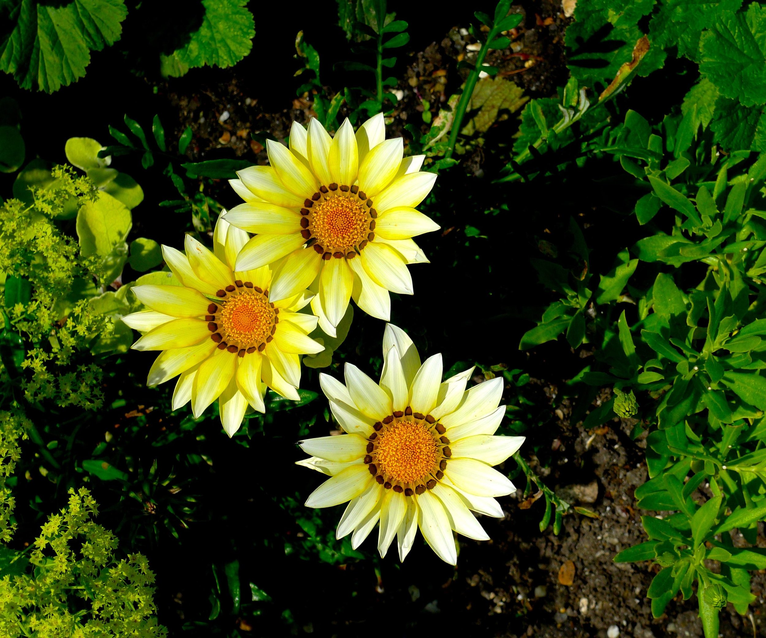 And I couldn't leave some yellow flowers out of my looking down focused post now could I?