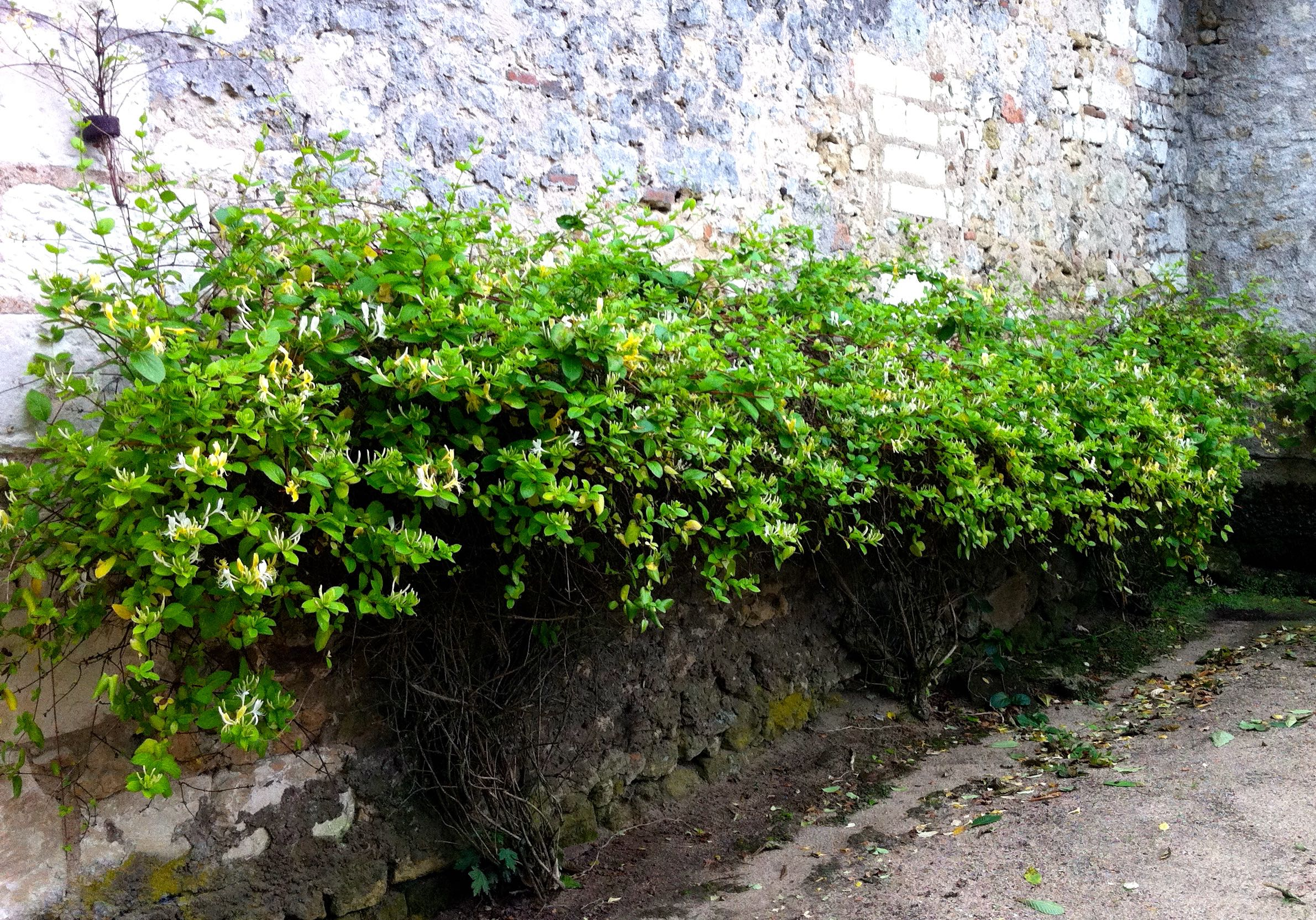 honeysuckle at chateau de chenonceau grown as a cordon and in a way i've not seen before