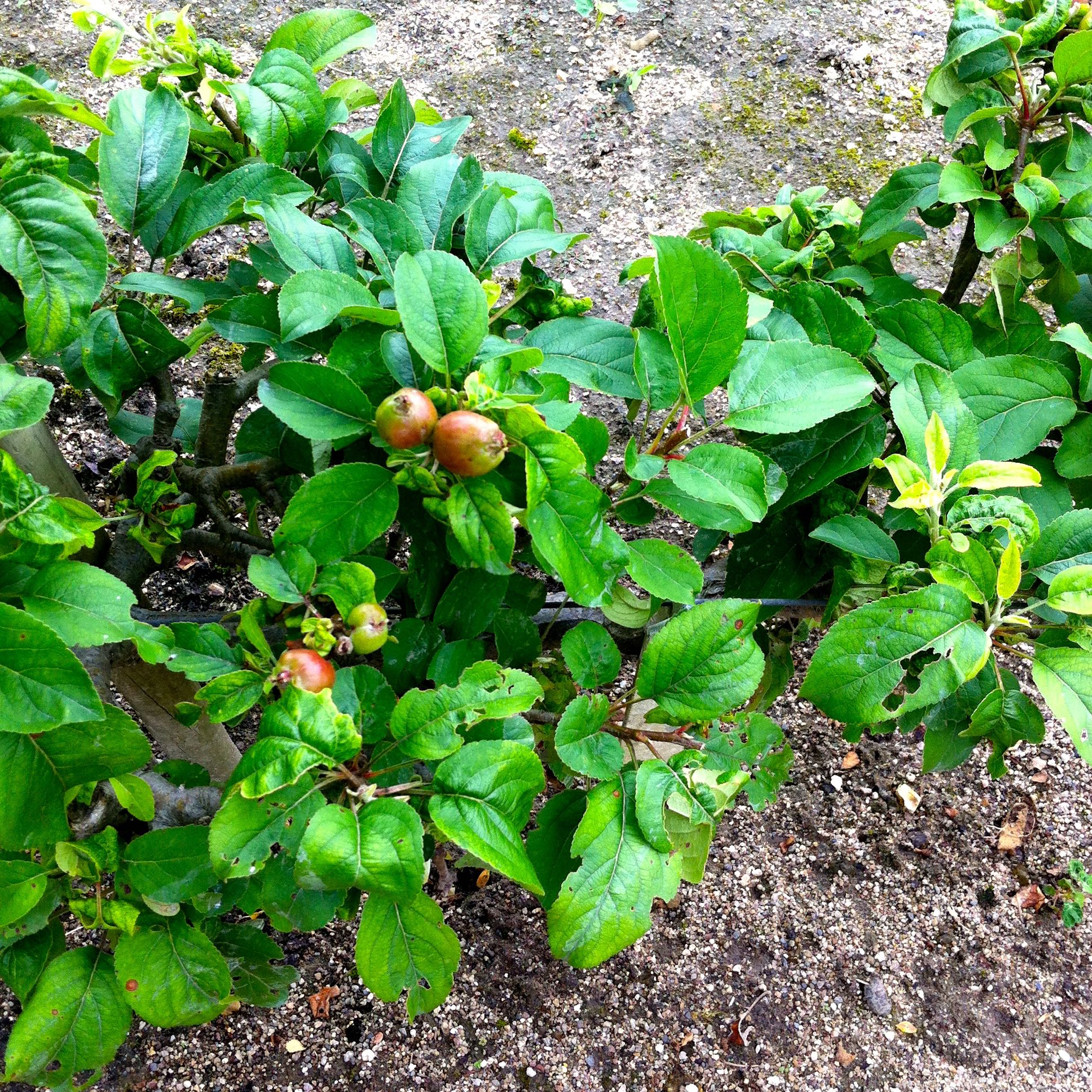 looking down on the miniature fruit trees bordering the vegetable and flower beds at chateau de chenonceau
