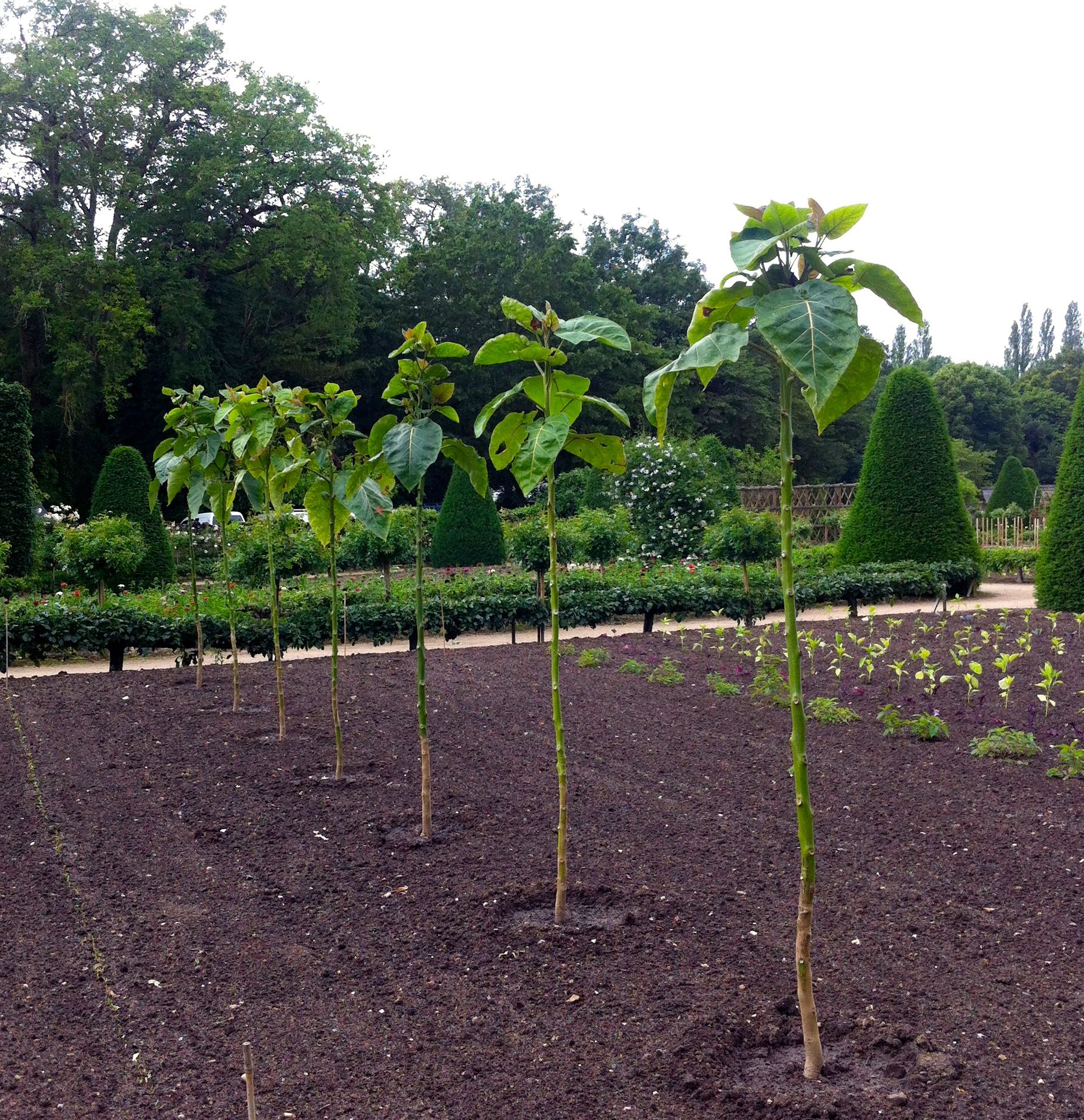 strong sunflowers growing straight, tall and in a line in the flower garden at chateau de chenonceau