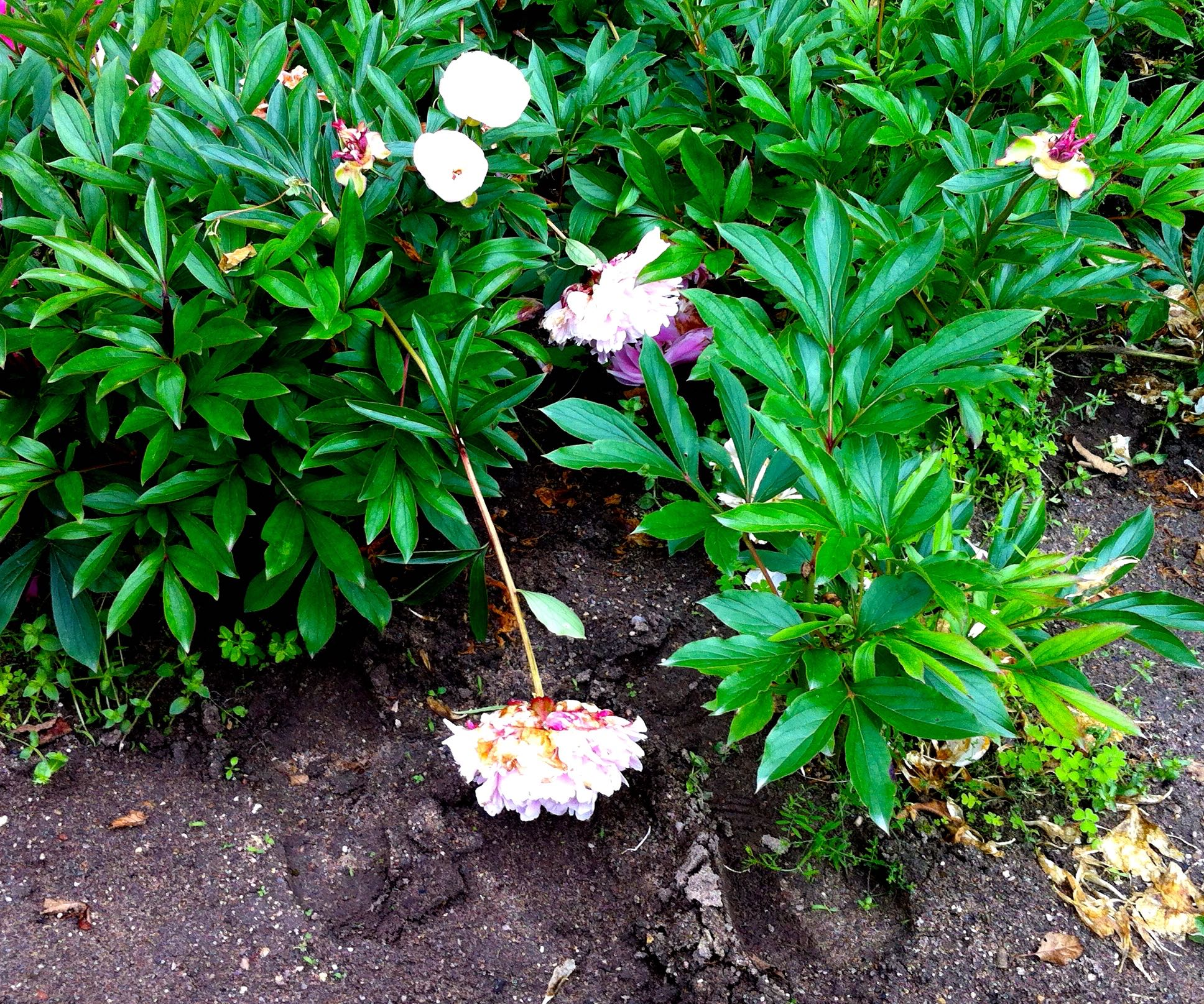 the peonies in the flower garden at chateau de chenonceau struggled to stay upright