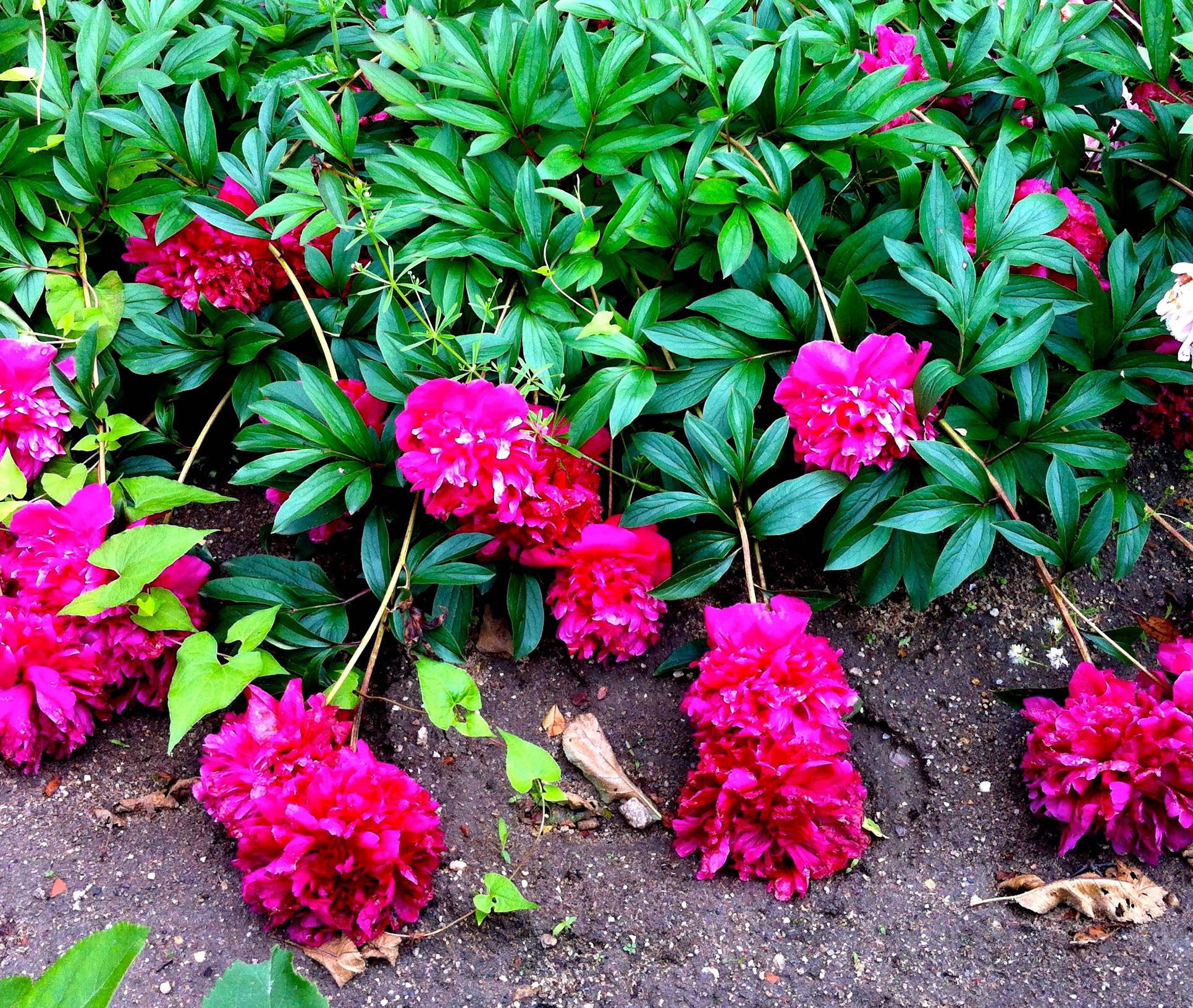 it seems the cerise peonies at chateau de chenonceau were heavier than the lighter coloured counterparts
