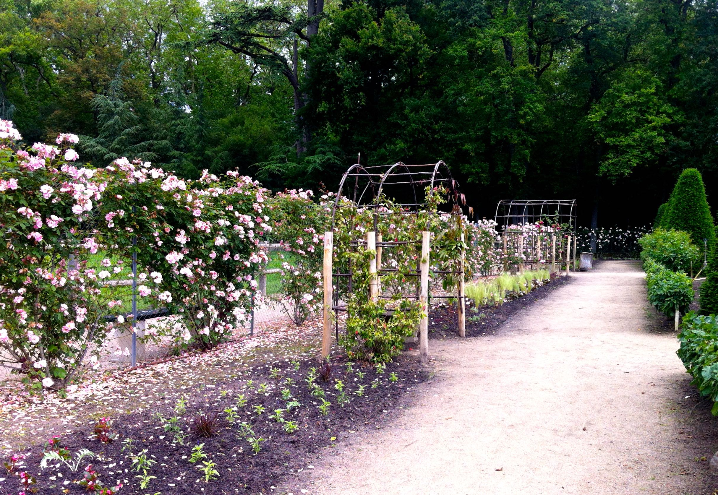 the regal roses growing in the flower garden at chateau de chenonceau