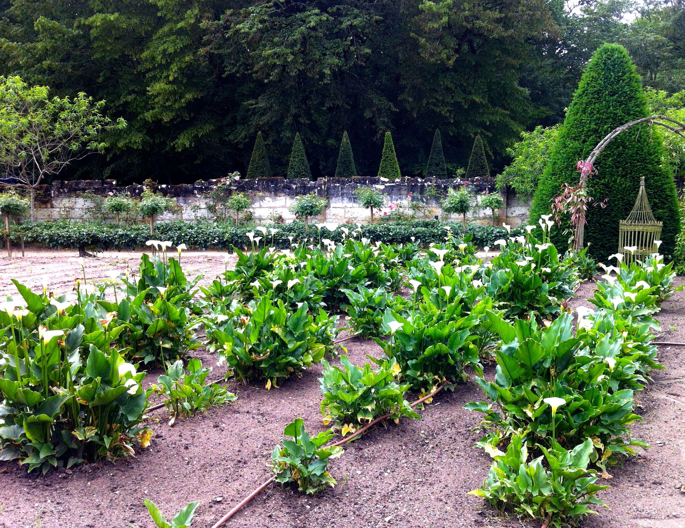 And white lilies also grown in abundance in the flower garden at chateau de chenonceau