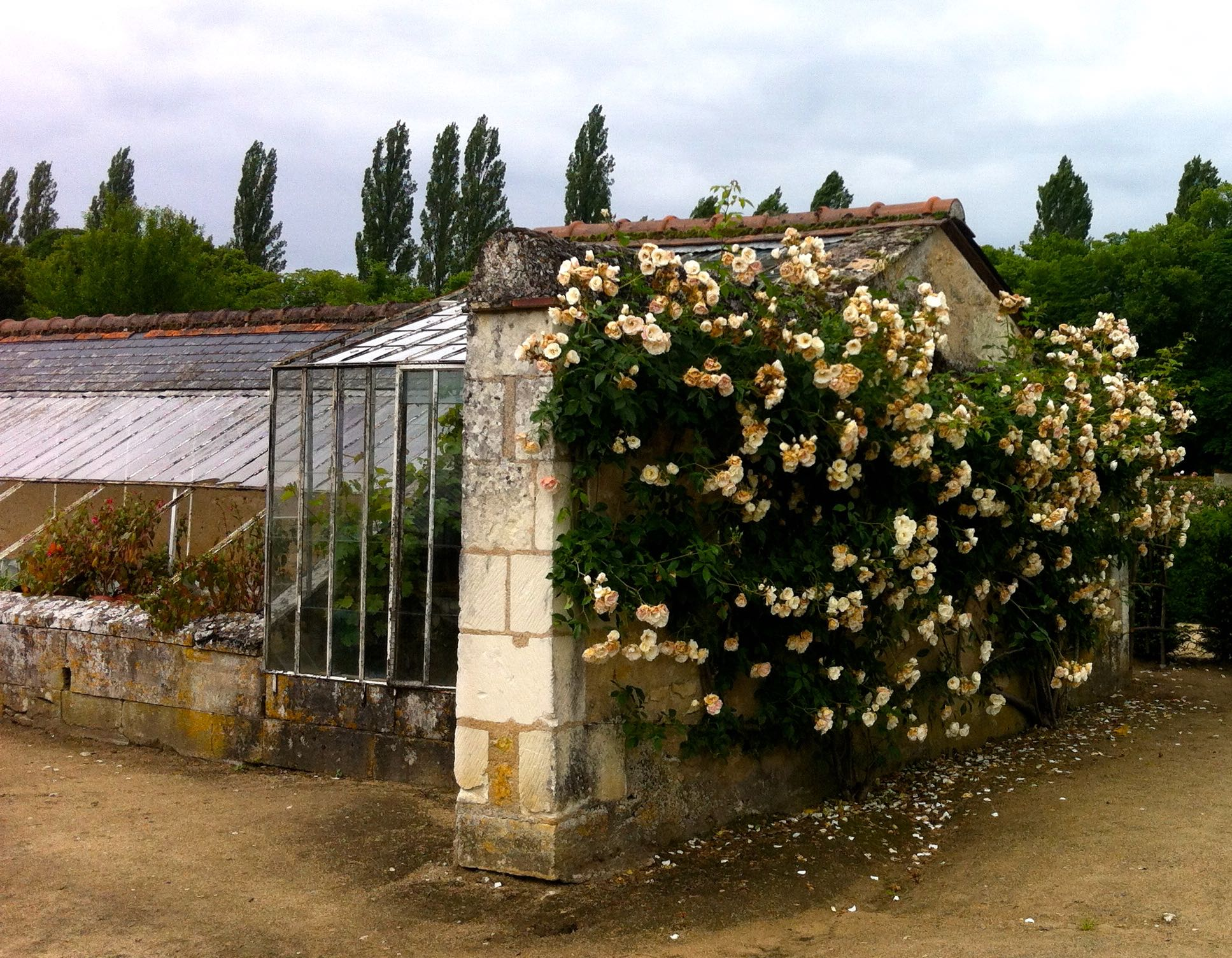 climbing roses on a wall at chateau de chenonceau making a pretty entrance to the working greenhouses