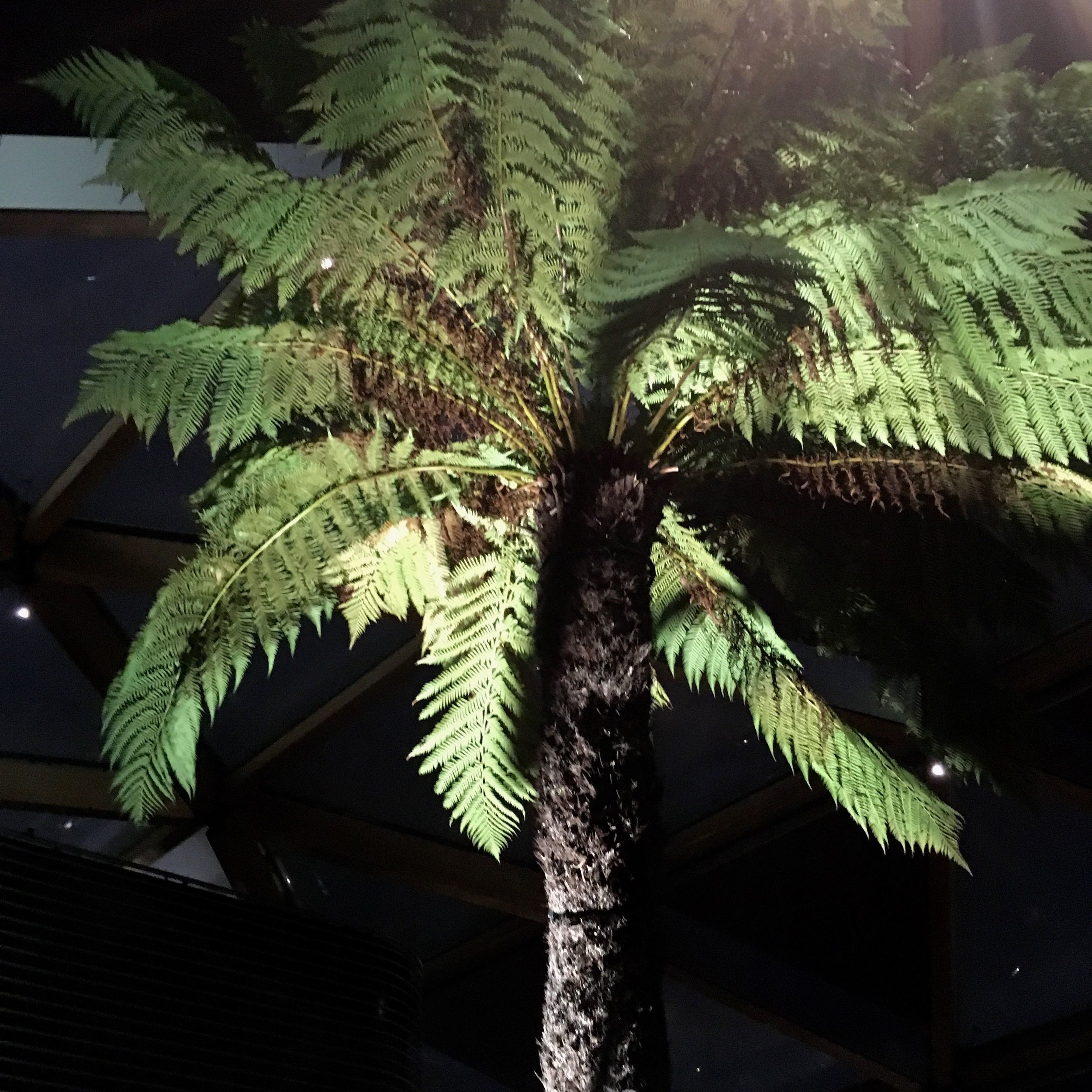 Tree fern in the roof garden in crossrail place in Canary Wharf