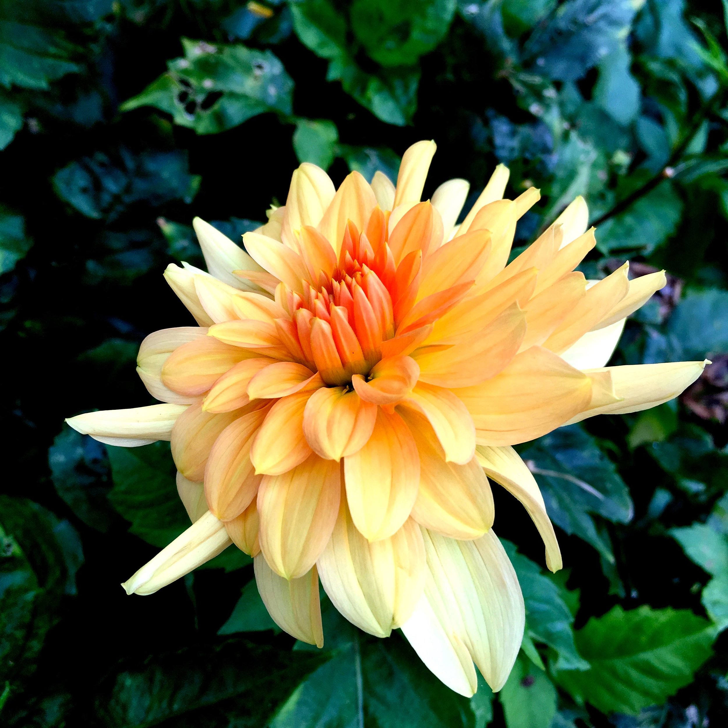 A peach coloured dahlia in dad's autumn garden