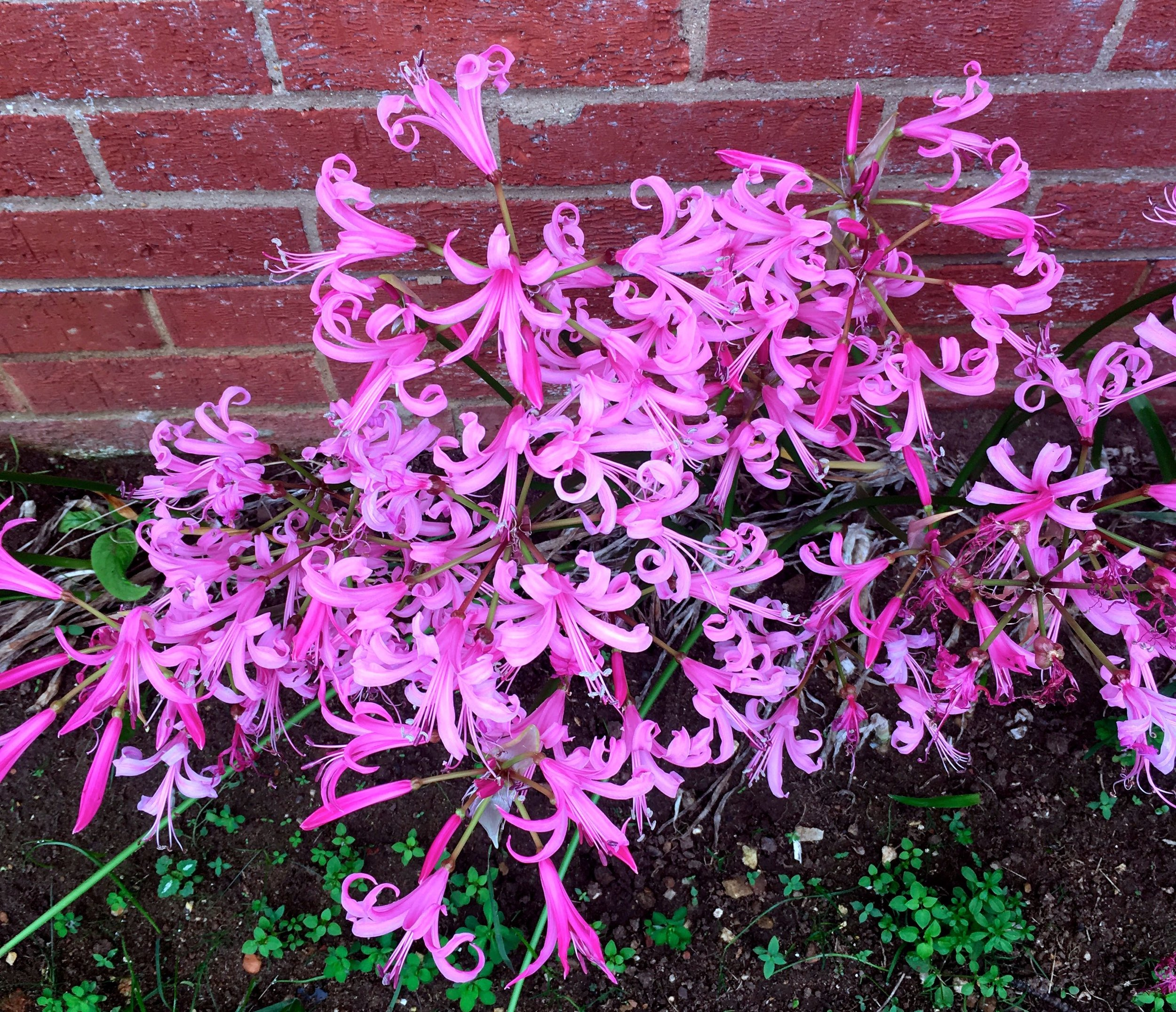 Nerines curly and pink hugging the wall of the house in dad's autumn garden