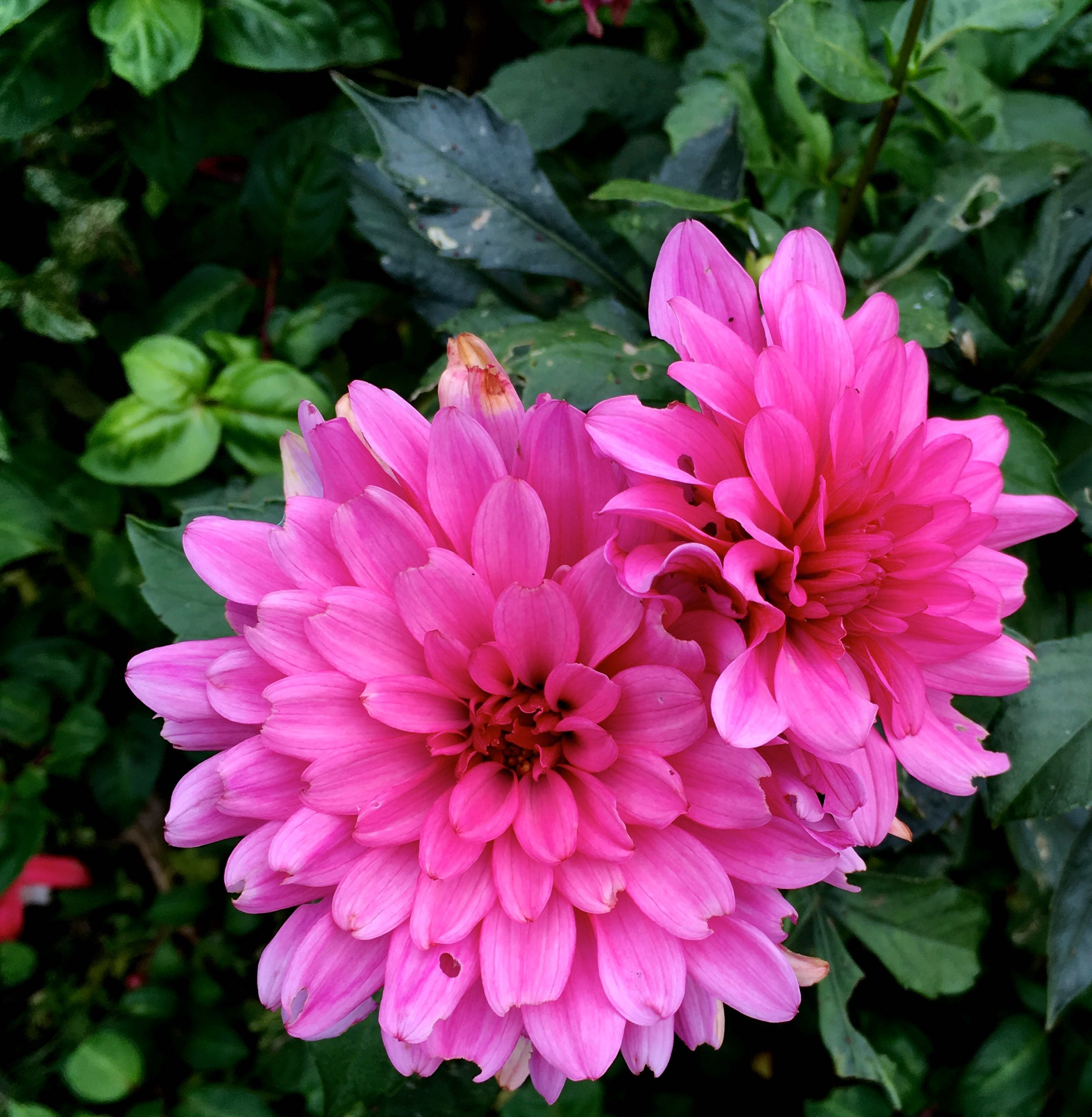 pink dahlias in full bloom in dad's autumn garden