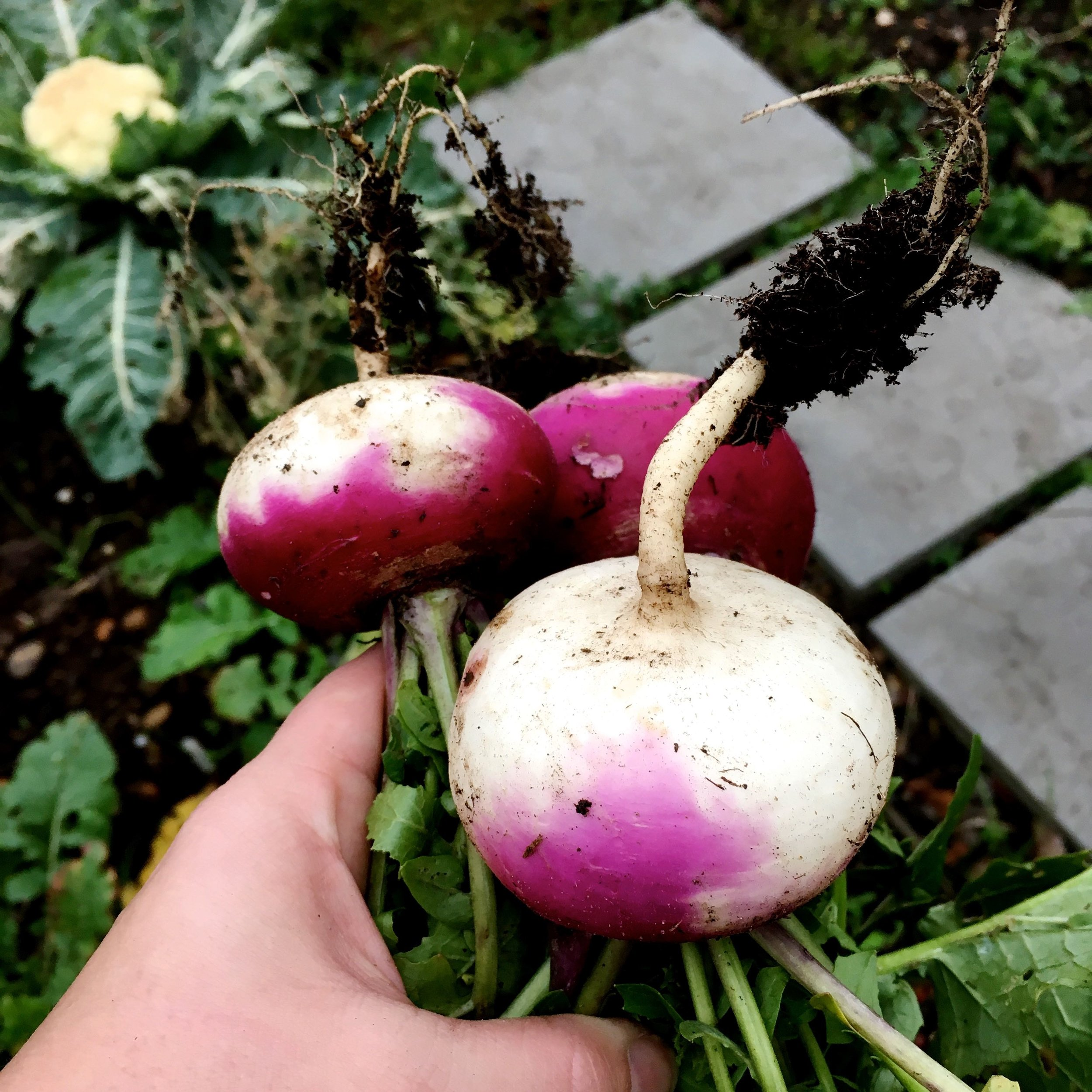 Freshly pulled turnips on the allotment, and there's more to come too.